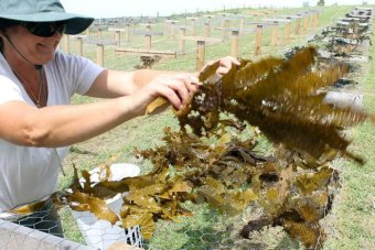 Jo Lane placing kelp on racks to dry before processing. (ABC South East NSW: Bill Brown)