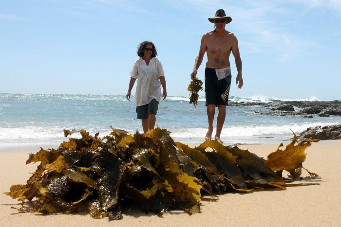 Jo Lane and Warren Atkins collecting kelp. (ABC South East NSW: Bill Brown)
