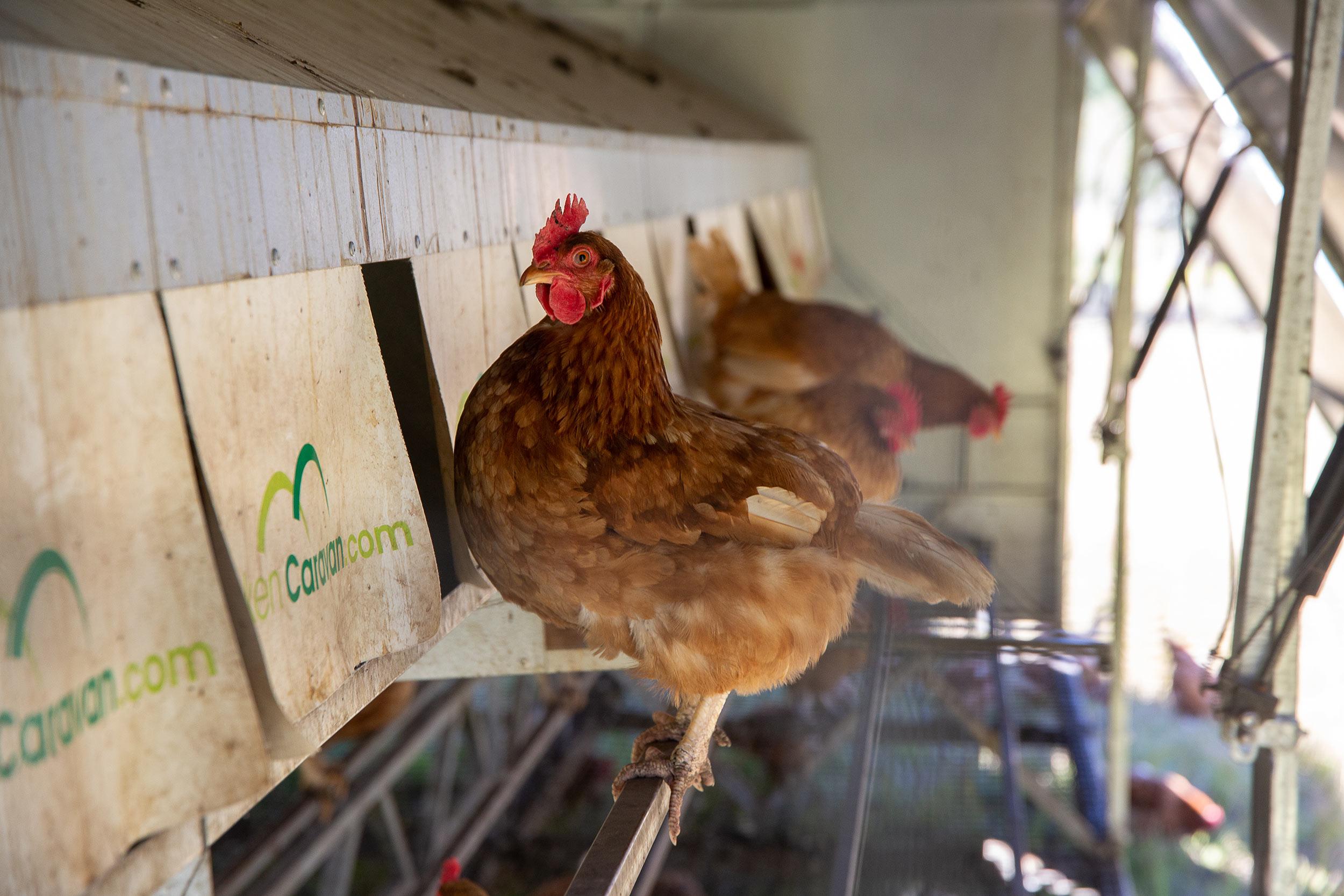 glft-topi-open-range-egg-hen.jpg