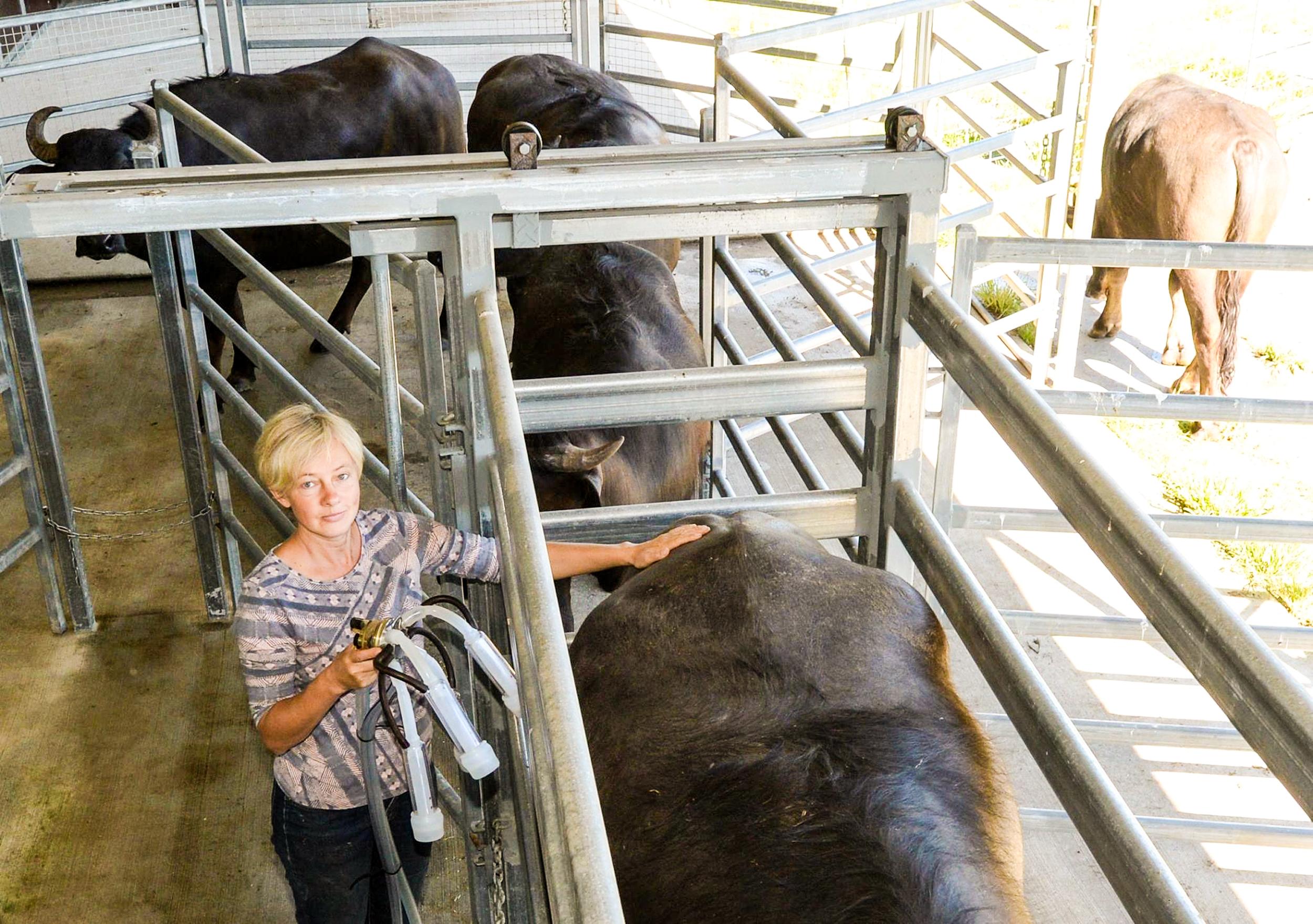 glft-burraduc-buffalo-dairy.jpg