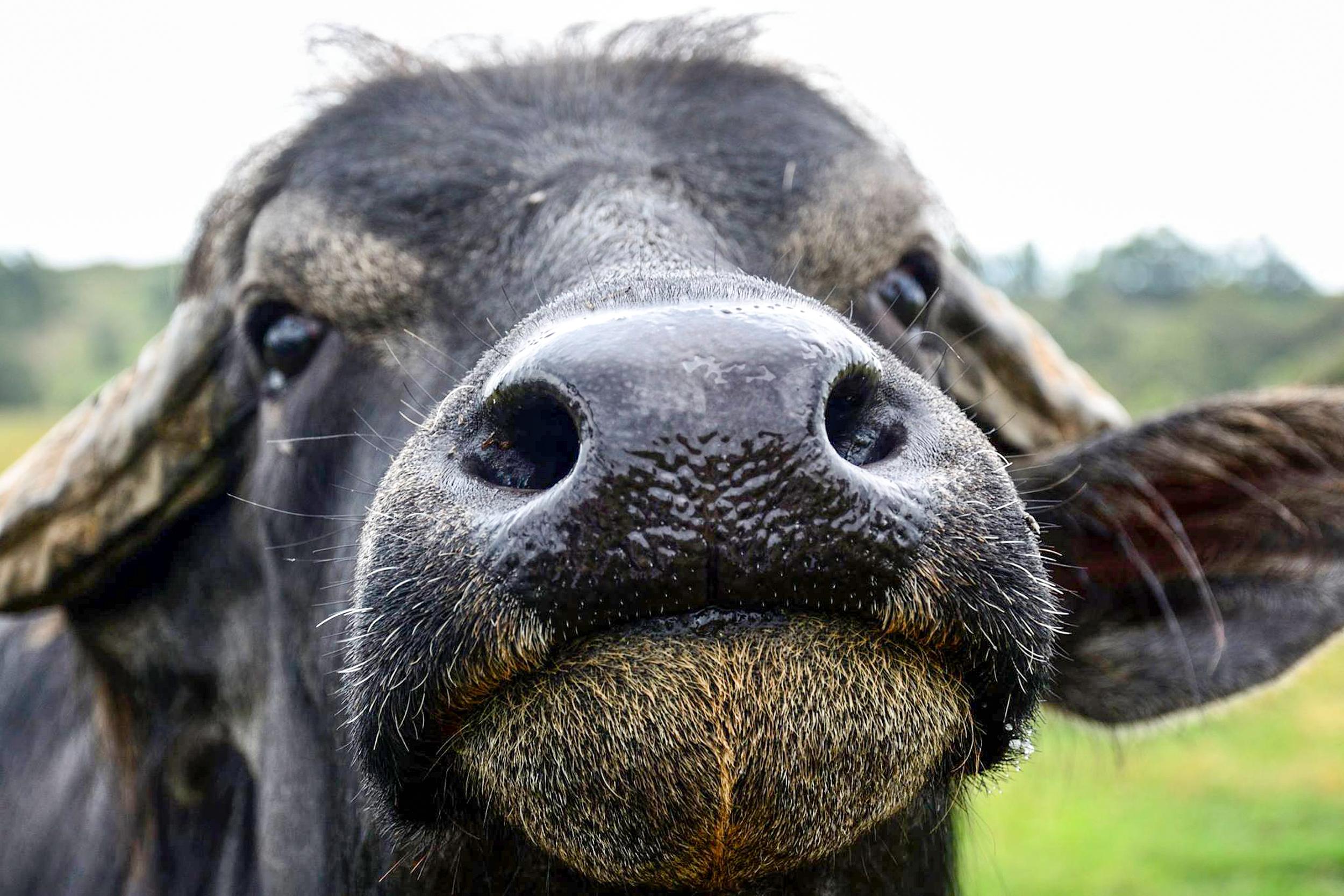 glft-burraduc-buffalo-close.jpg