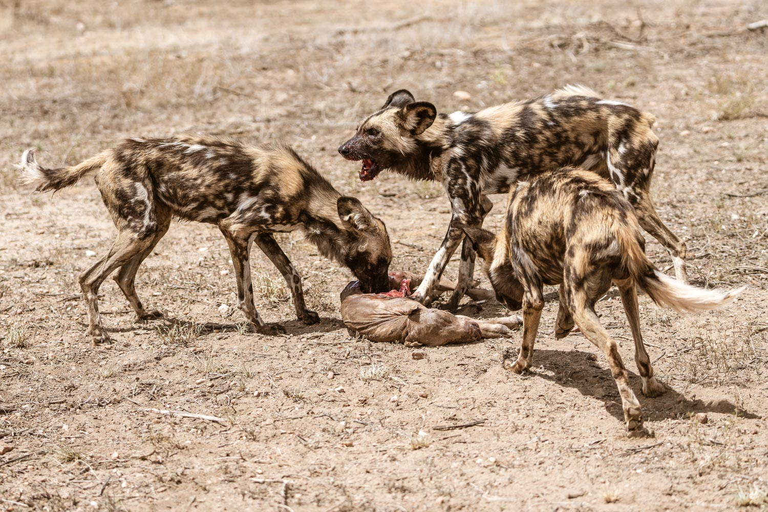 Wild dogs at Naankuse Wildlife Conservancy - naankuse.com - Photo: Roland Steffen