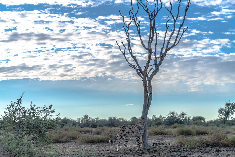 Cheetah at Naankuse Wildlife Reserve. Photo: Roland Steffen - Sony A7r III, 24-70 2.8 GM f 2.8