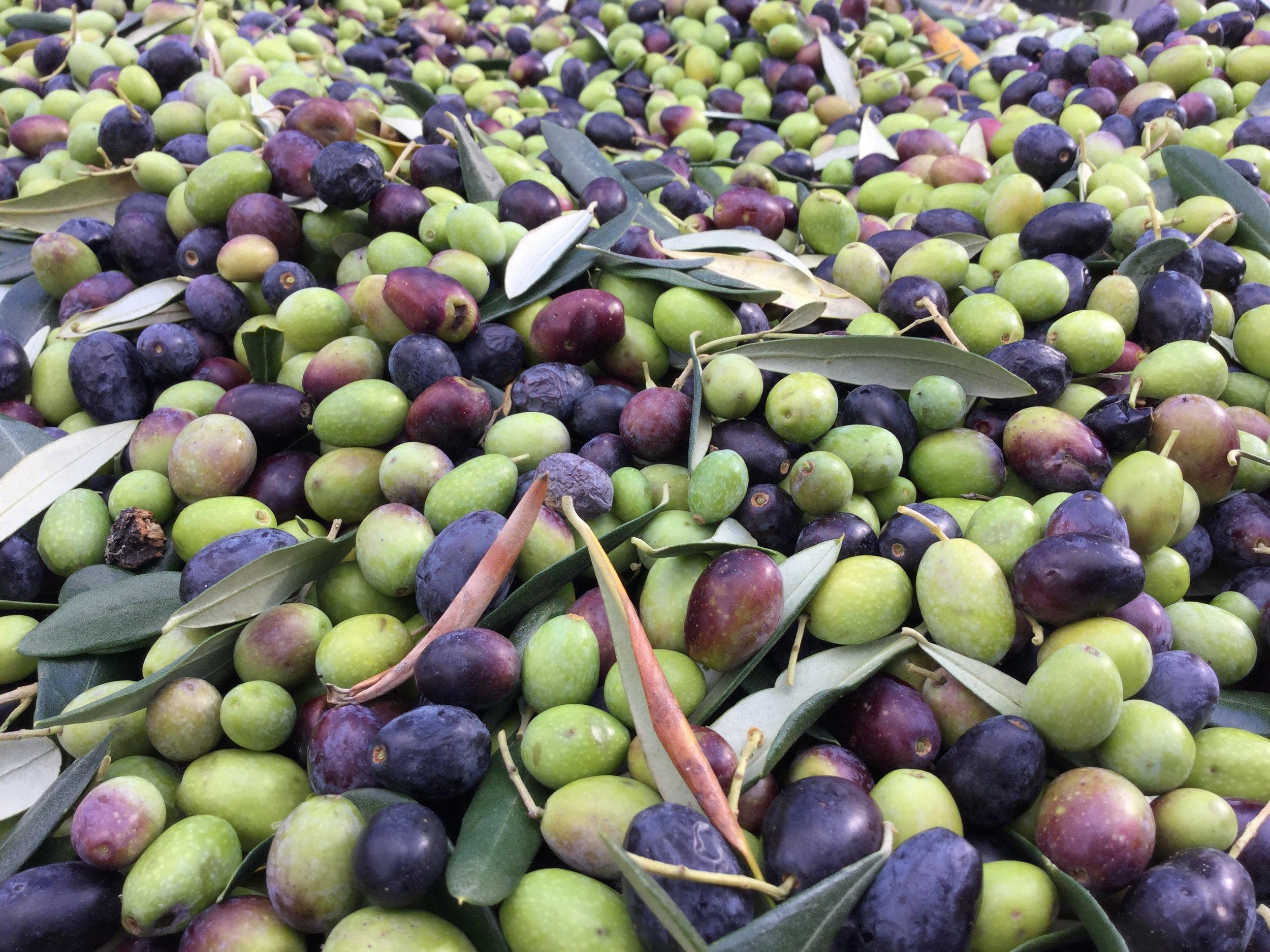olives-just-picked_24690676388_o.jpg