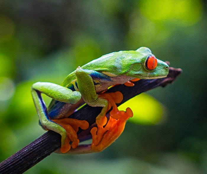 The red eyed tree frog, one of Costa Rica's most iconic and famous residents