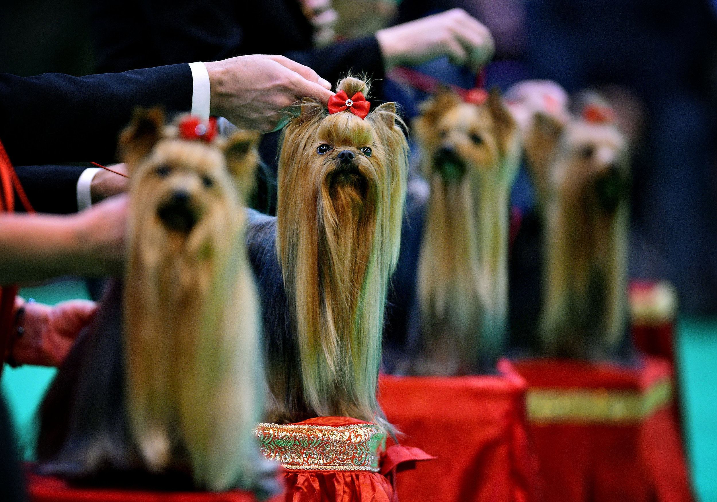 The judging of the Yorkshire Terrier class taking place at Crufts, the world�s largest dog show, at the NEC in Birmingham.Photo by Bruce Adams  10 March 2017