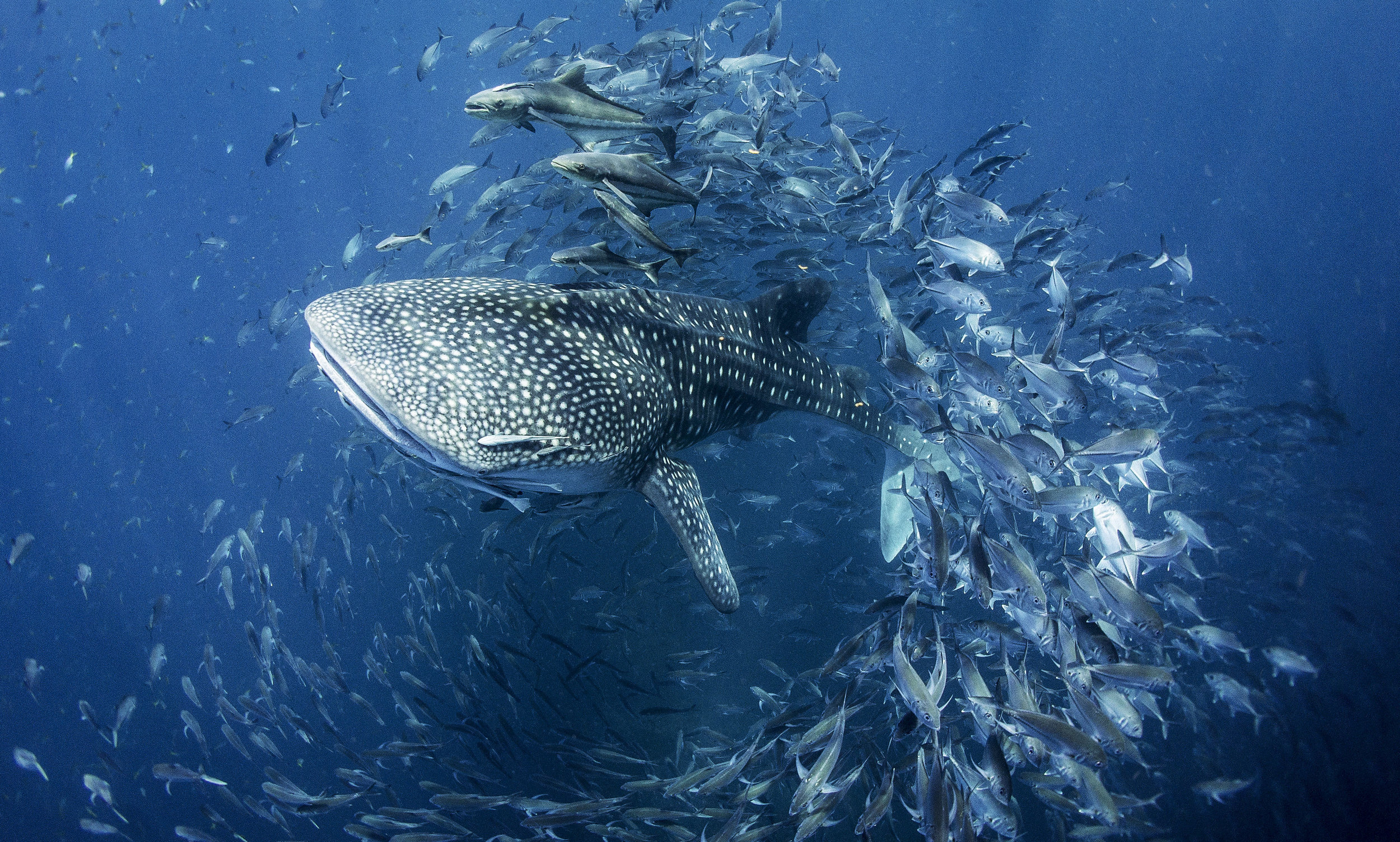 A whale shark swims effortlessly past a remote reef near the island of Koh Phangan, Thailand � using it as a natural �cleaning station�.Photo by Dan Charity  12 April 2017