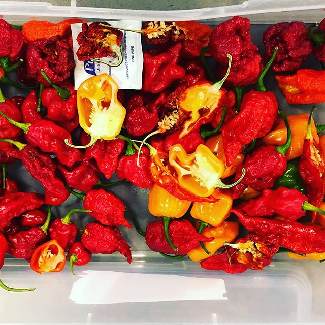 When you get a special package of 🔥! A mix of ghost peppers, Tasmanian habaneros, vipers, and red savina's! . . It's about to get reeeal 🥵 in here! . . #chilehead #hotfire #spicypeppers #feeltheburn #tacoporn #hotsauce