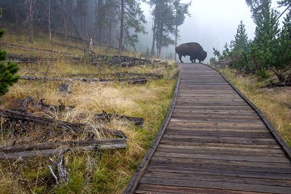 buffalo yellowstone 2.jpg