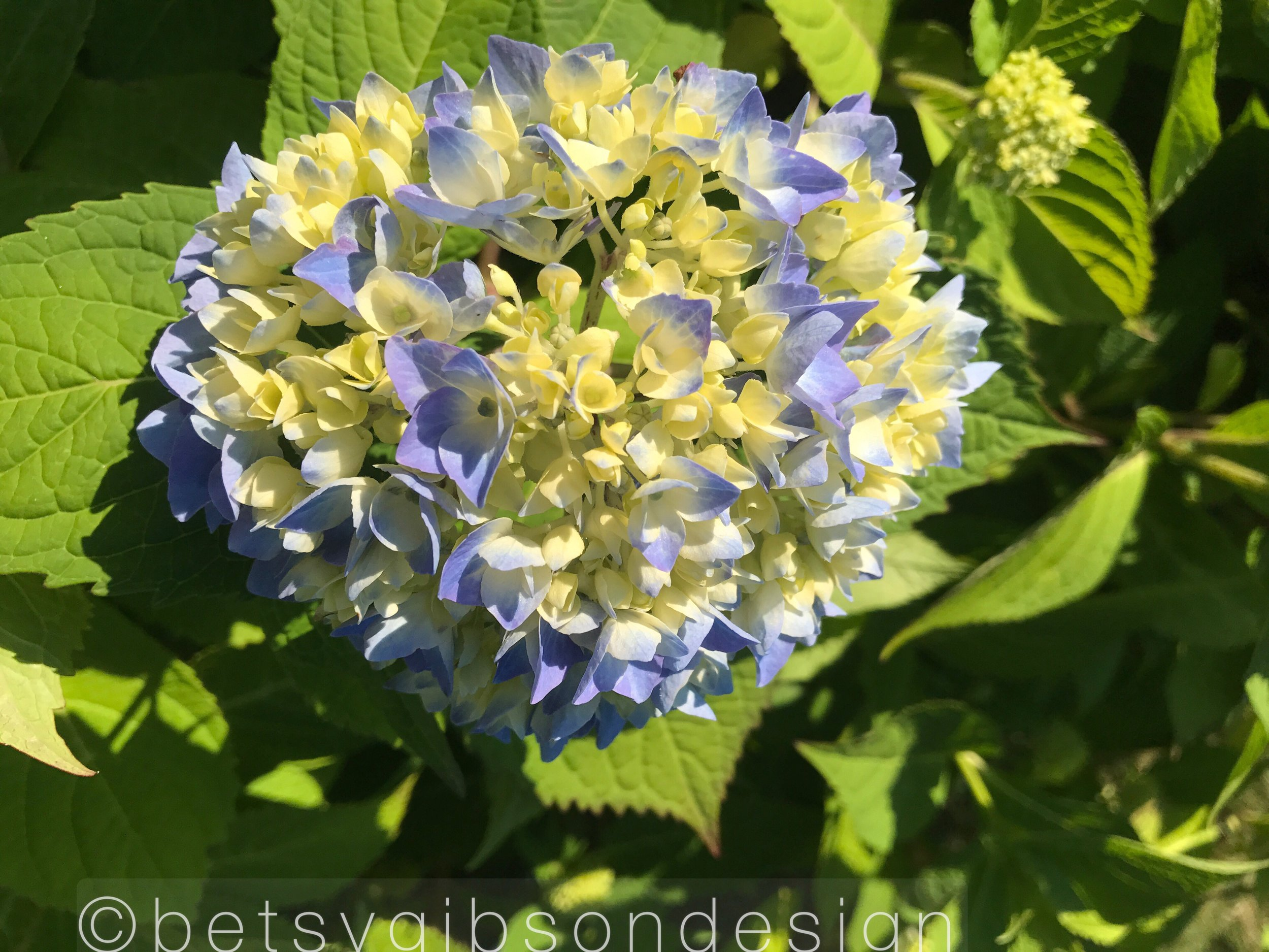 One in our sea of Hydrangea….©betsygibsondesign