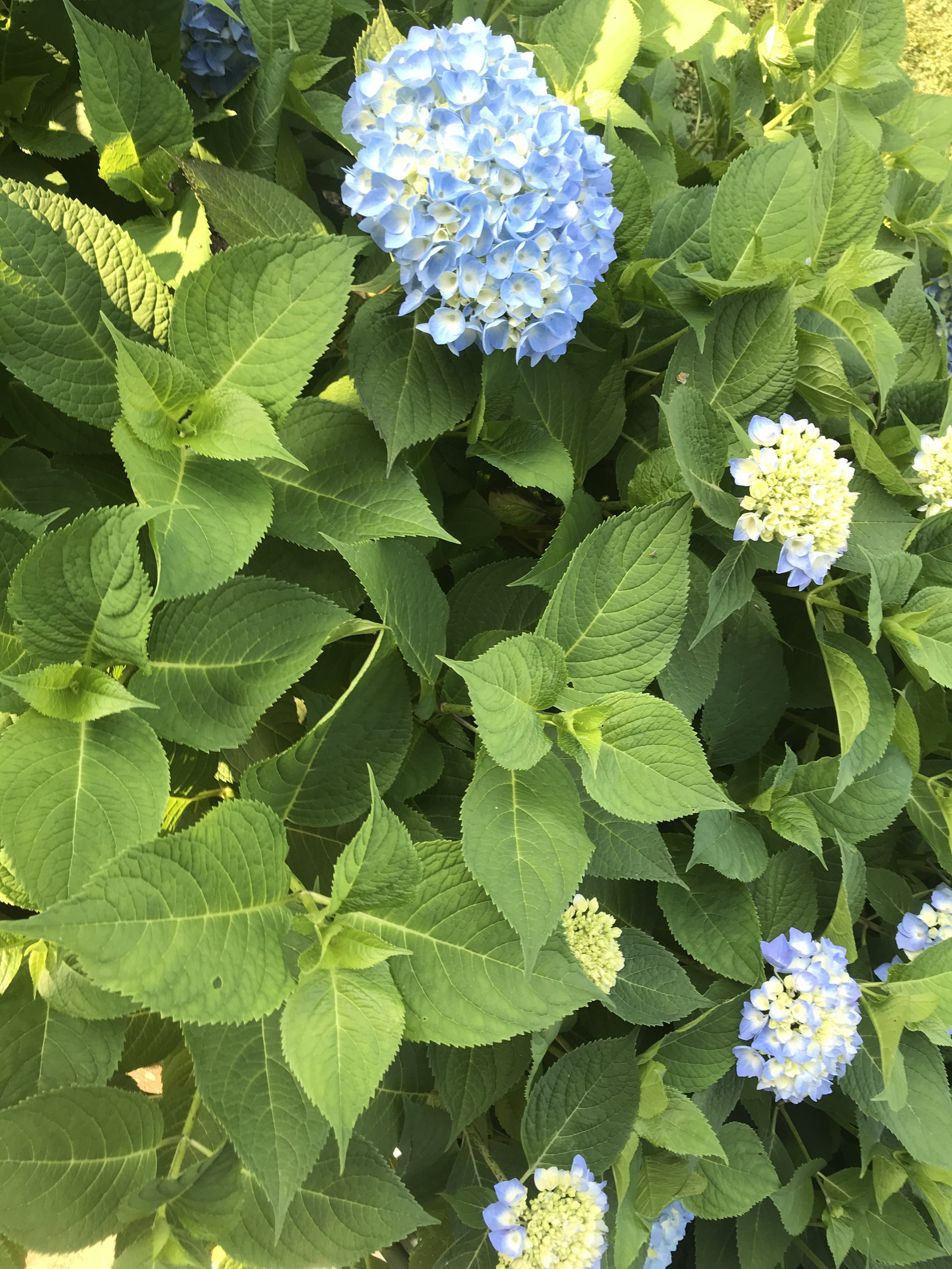 Back out to Sconset for a quick change of clothes and a little look at our Hydrangeas. Coming along!! ©betsygibsondesign