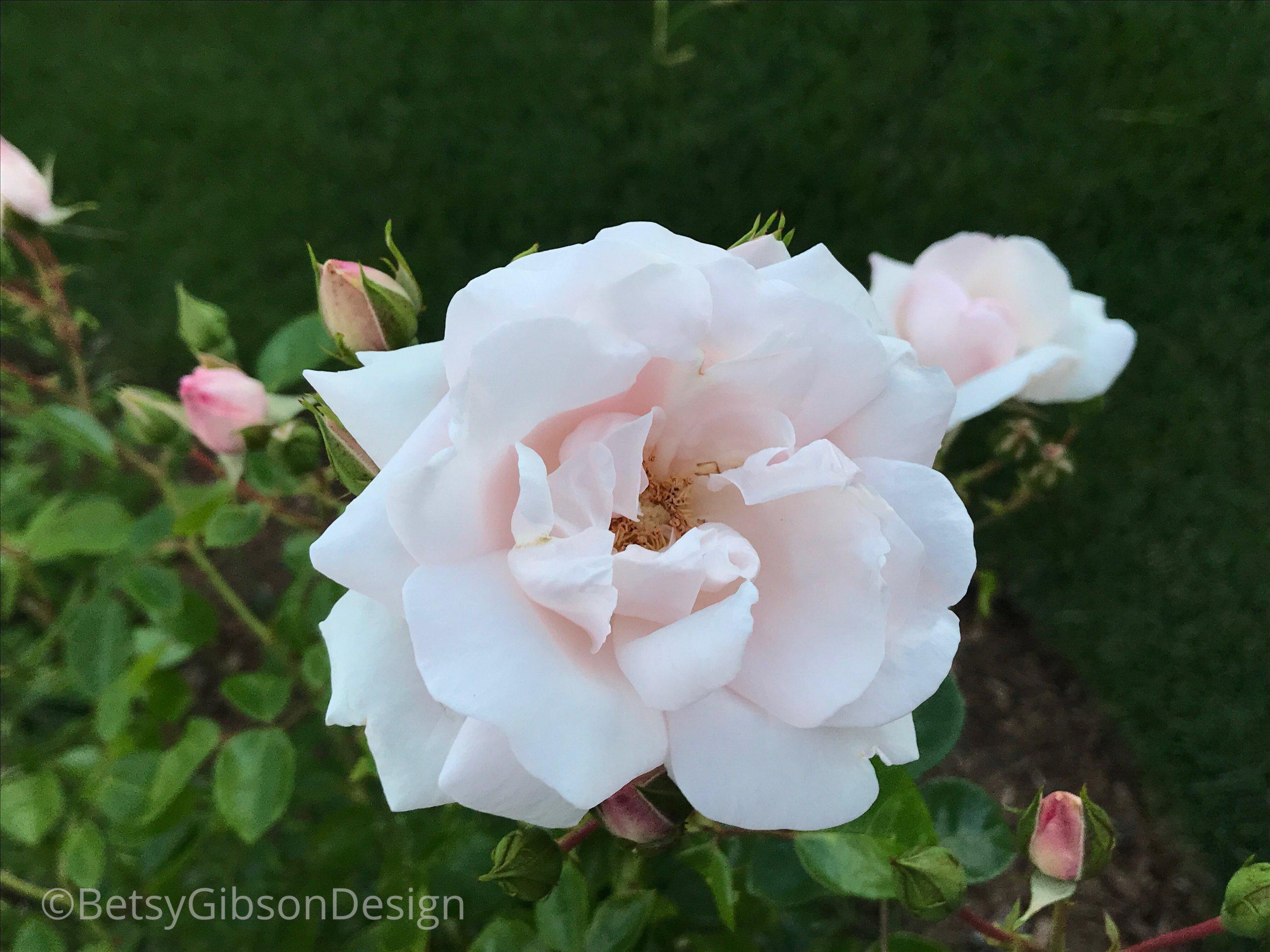 A Sconset Rose. June 2018. ©betsygibsondesign.com
