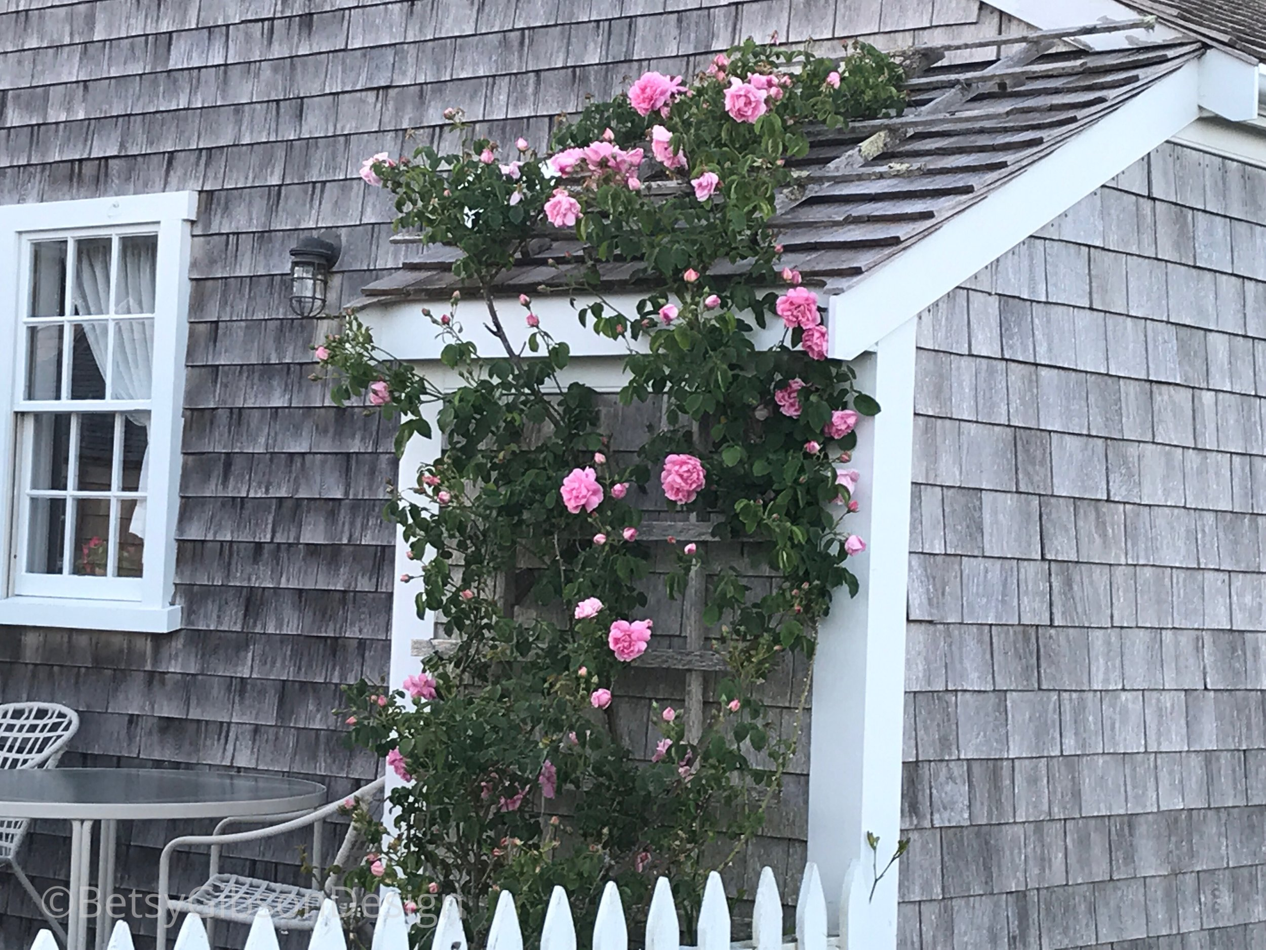 Roses are climbing all over Sconset! The Bluff Walk. July 2018. ©betsygibsondesign
