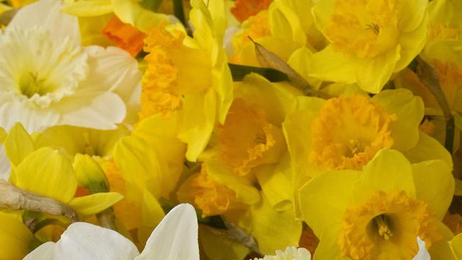 dp-pictures-2012-daffodil-festival-20120324-006