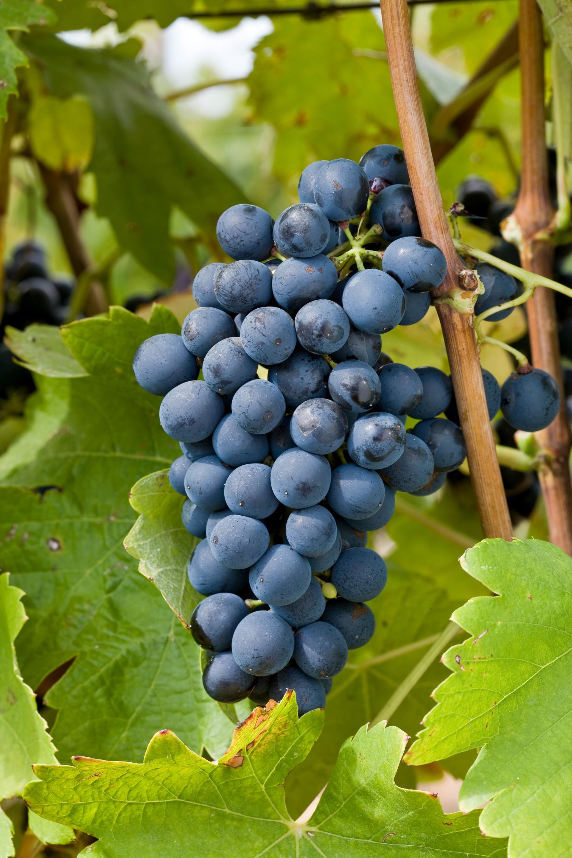 rhone-grapes.jpg
