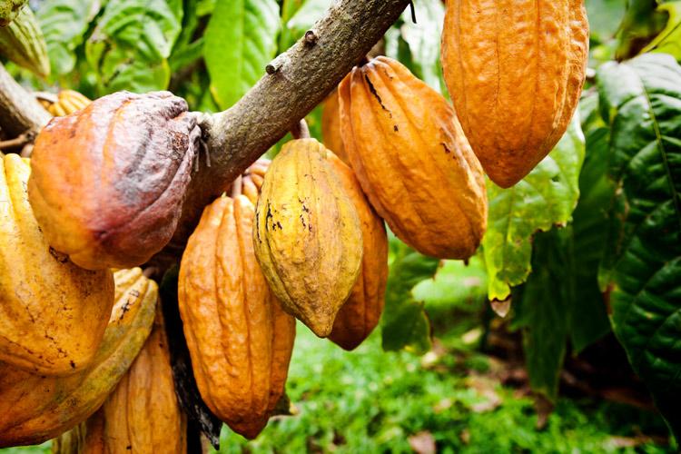 cacao-fruit-tree.jpg