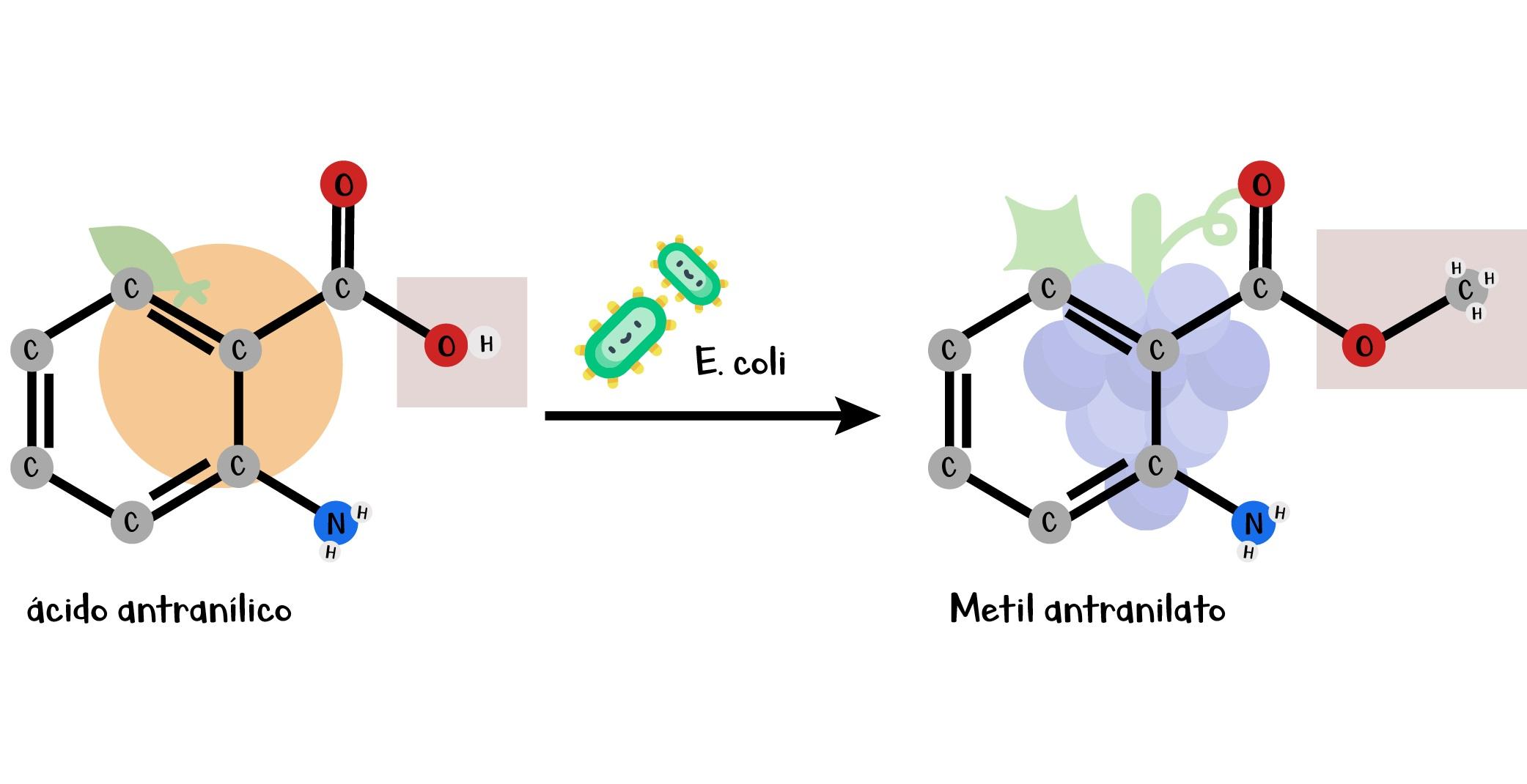 Transformación en  E. coli  de ácido antranílico (sabor a naranja) y metil antranilato (Sabor a Uva)