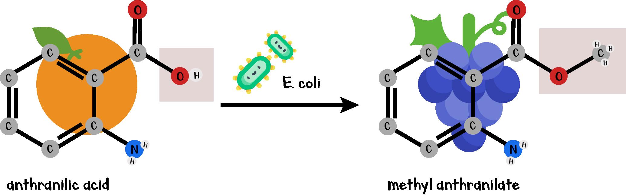 Conversion of anthranilic acid (orange flavor) to methyl anthranilate (grape flavor) using  E. coli