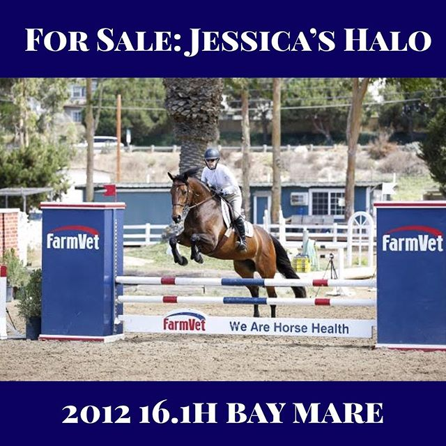 "For #salehorsesunday Hap Hansen Stables proudly offers for sale Jessica's Halo - - Jessica is a fun and fast 2012 RPSI bay mare. She has several championships in the .80m and .90m jumpers. She will cross over easily into the hunters and equitation as well. She is 16.1h tall and short coupled and will suit a rider up to 5'11"". Jessica has a smooth and powerful jump that is clean and careful. She is a fun and comfortable ride, perfect for a junior or amateur looking to be competitive. Her mother was a TB Grand Prix jumper and her father was a successful equitation horse. Her father's parents were both Grand Prix Jumpers. She has no soundness issues. She thrives in a consistent program and should be ridden on the first day of the week for schooling. She will then happily take around an junior amateur. She is a very sweet and pleasant horse to have around the barn. - For further inquiries contact Hap at (619) 540-2622 or hhrsf@aol.com"