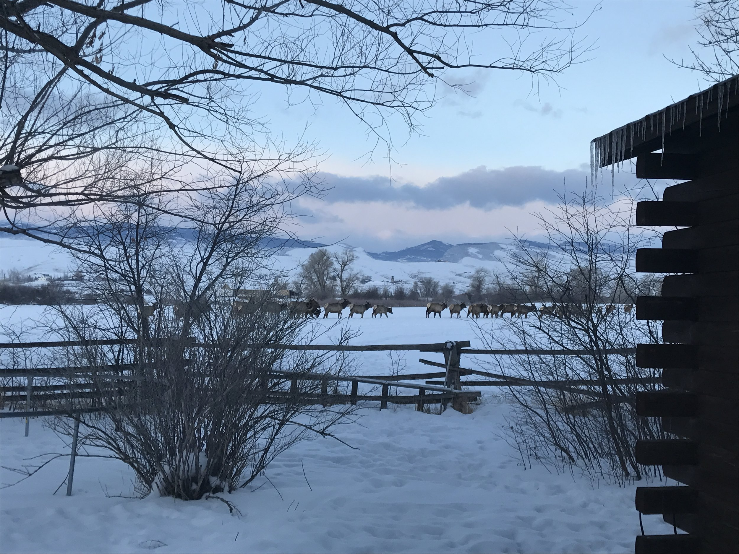 Elk wintering on our home ranch.