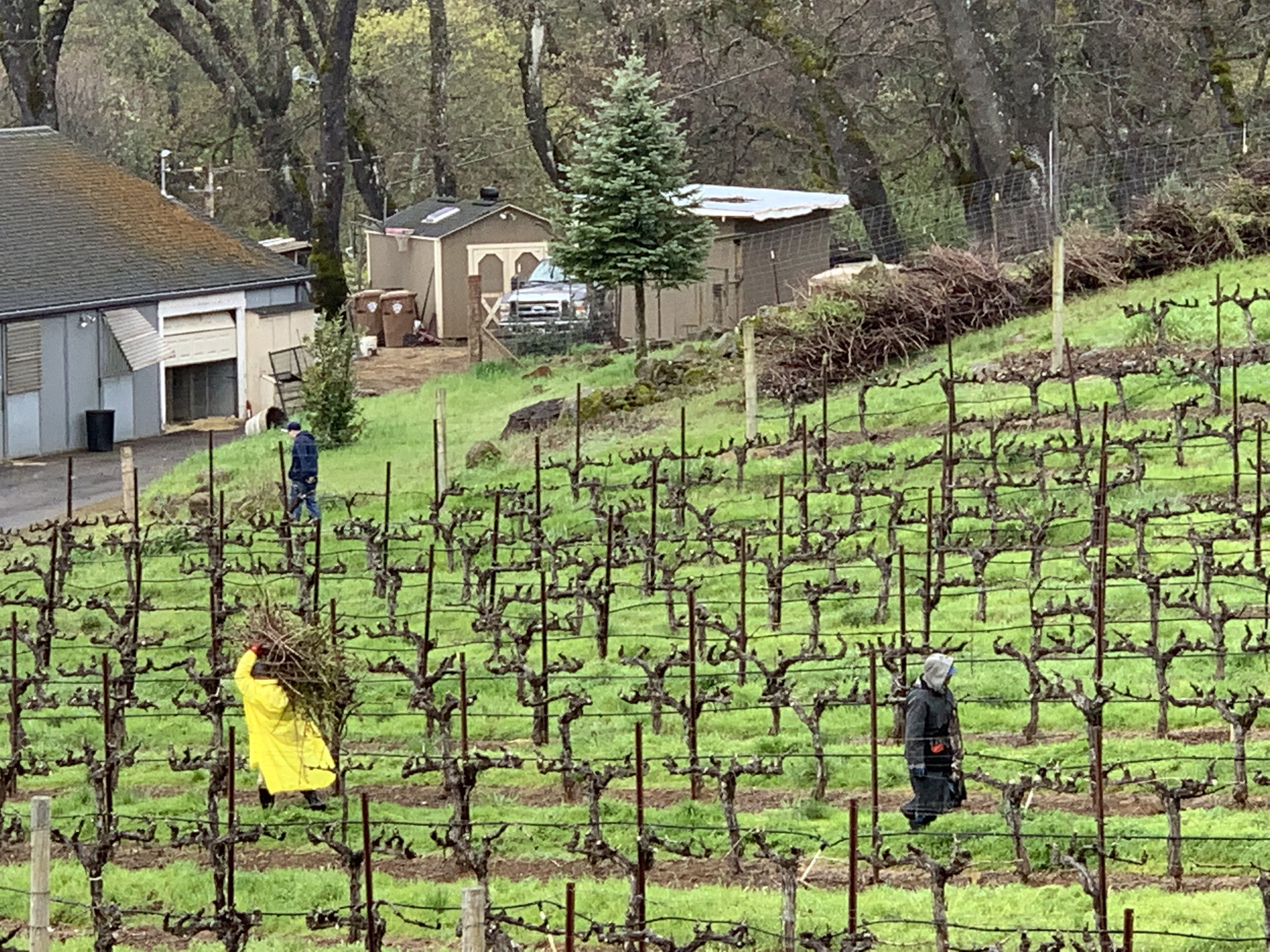 Pruning season in the rain.