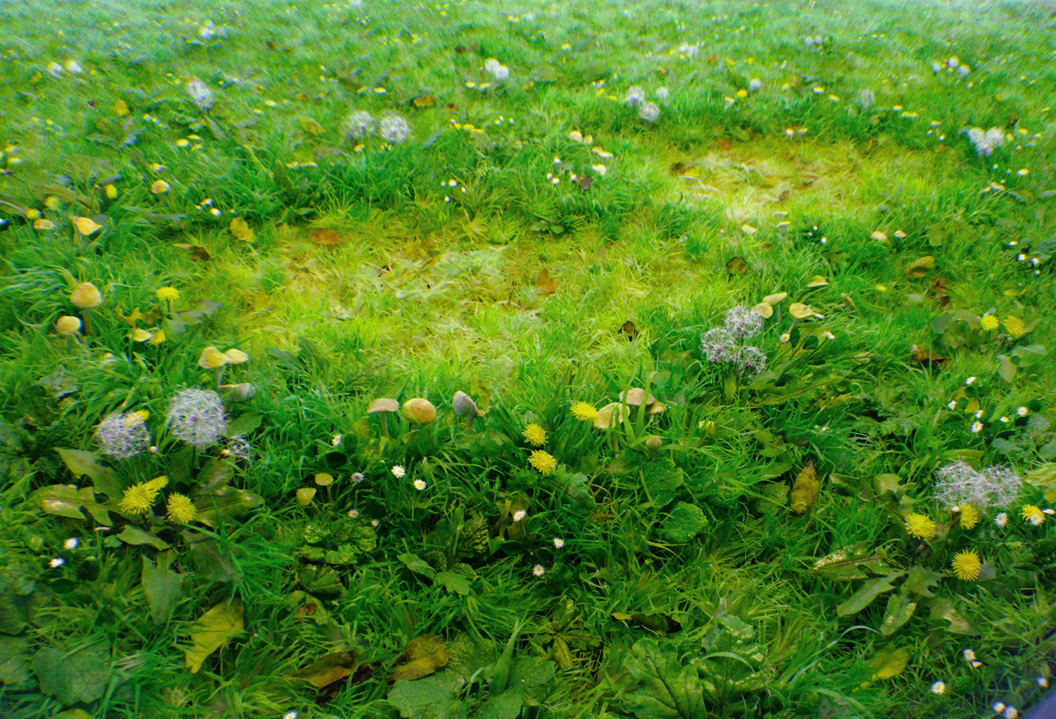 Detail: Double Fairy Ring with Dandelions, 2012
