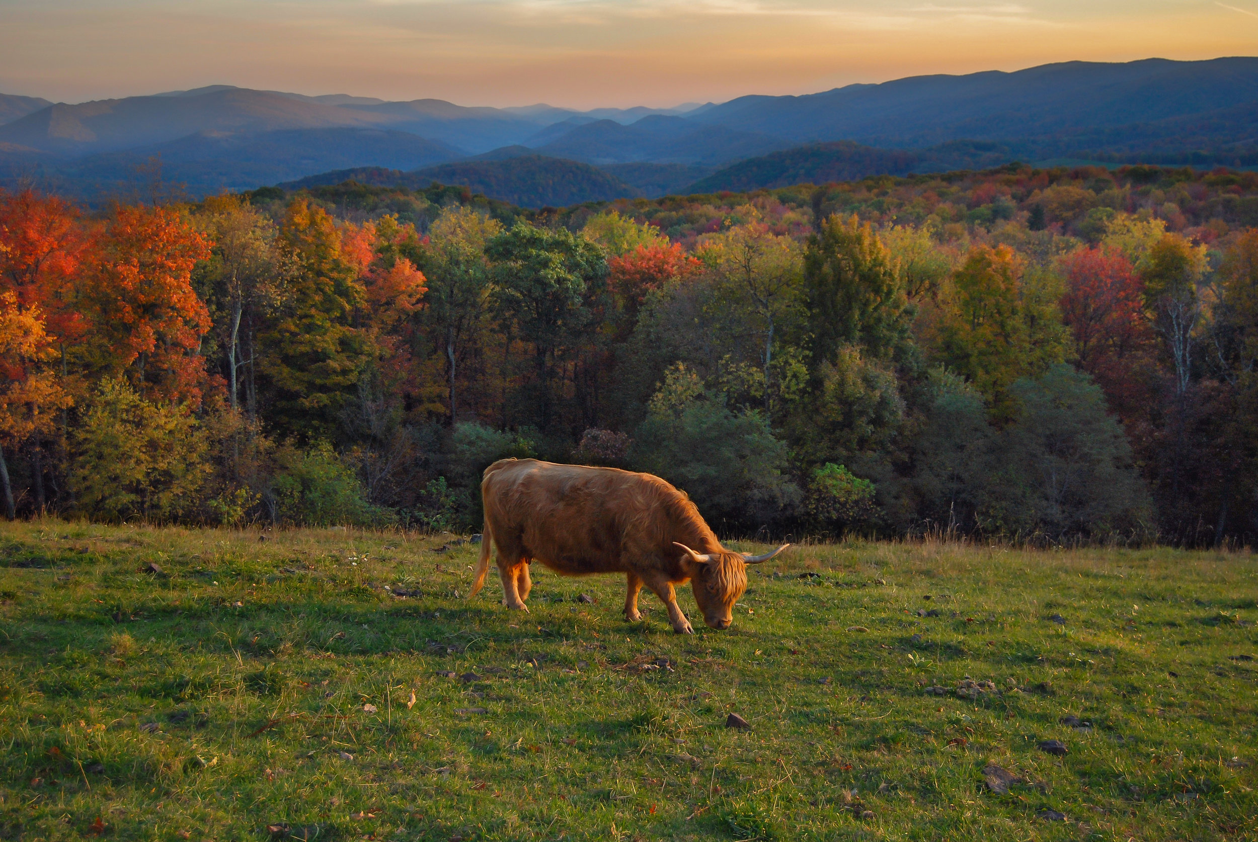 Scottish Highland Cattle-cattle-Allegheny Mountains-mountains-fall-Highland County-autumn-Virginia.jpg