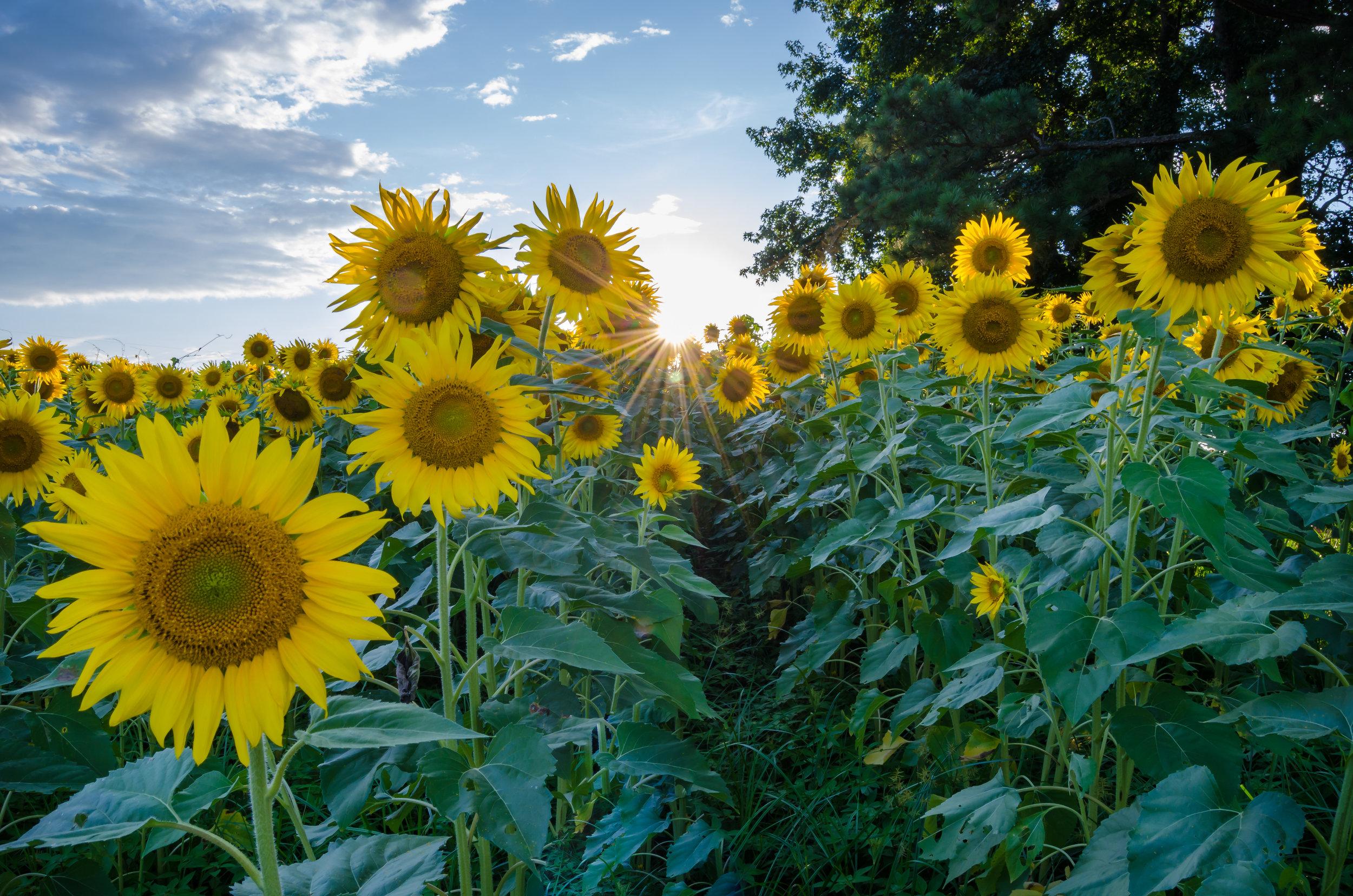 sunflowers-isle of wight county-virginia-sunset.jpg