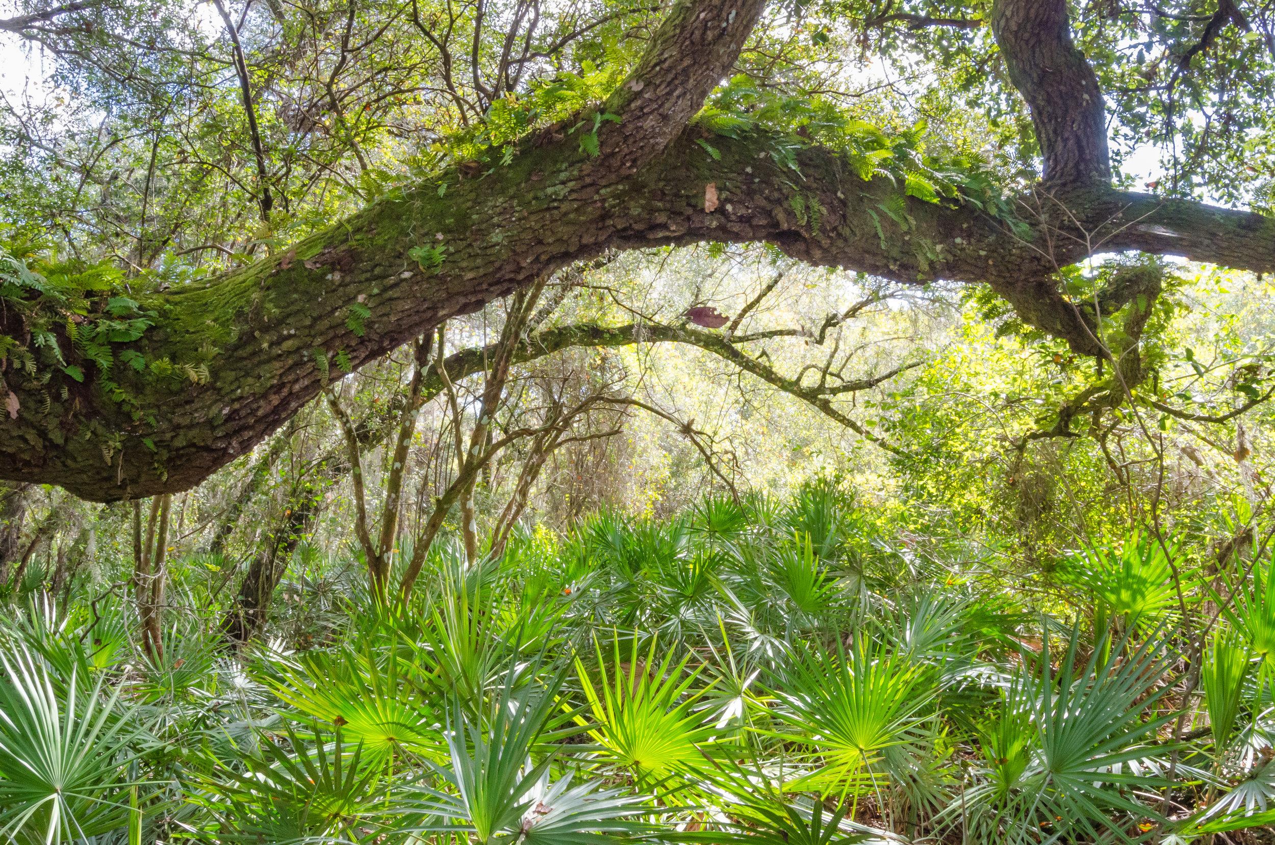 tree tunnel-palmettos-florida-lake griffin state park.jpg