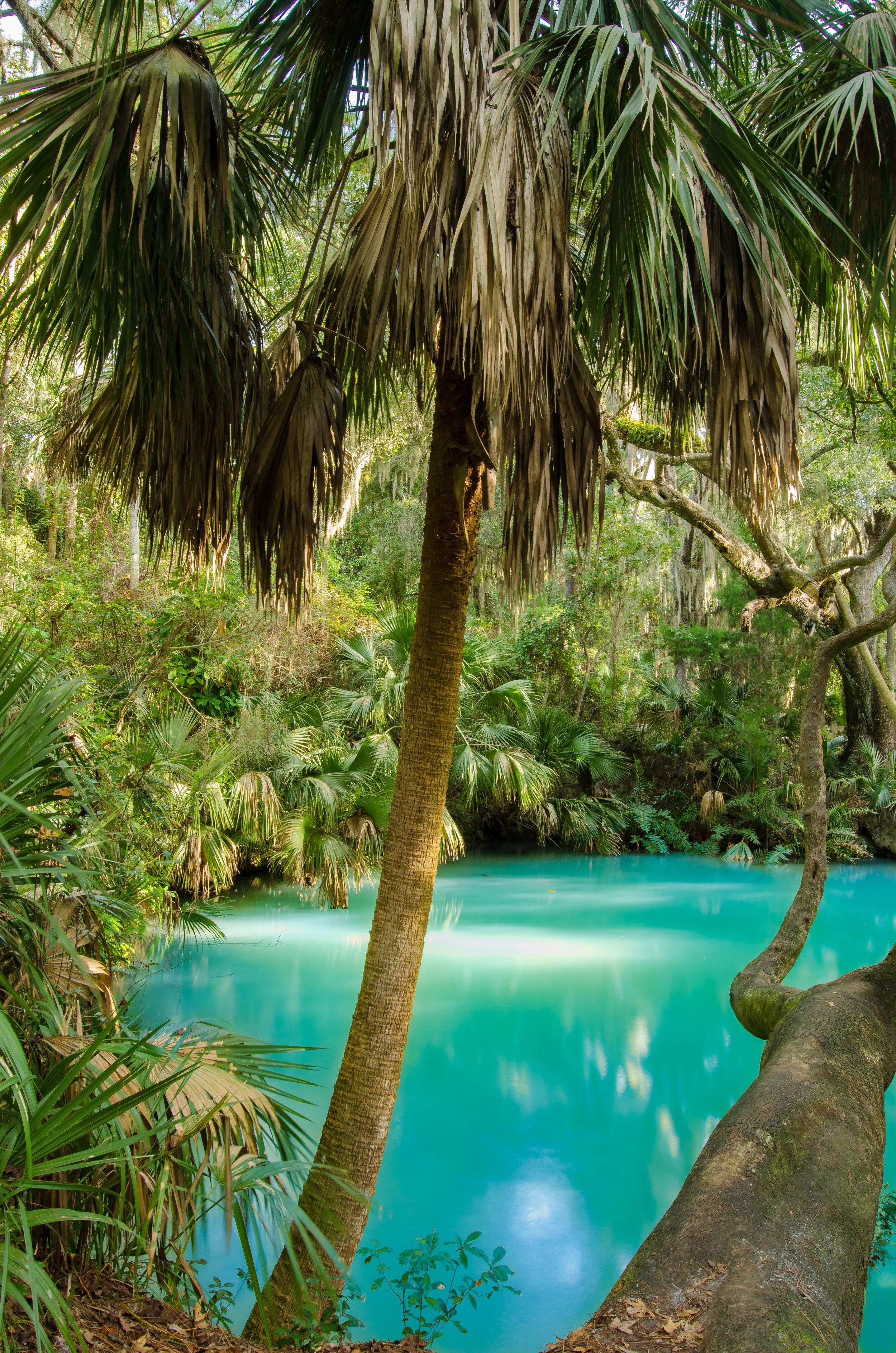 palm tree-spring-green springs-volusia county-florida.jpg