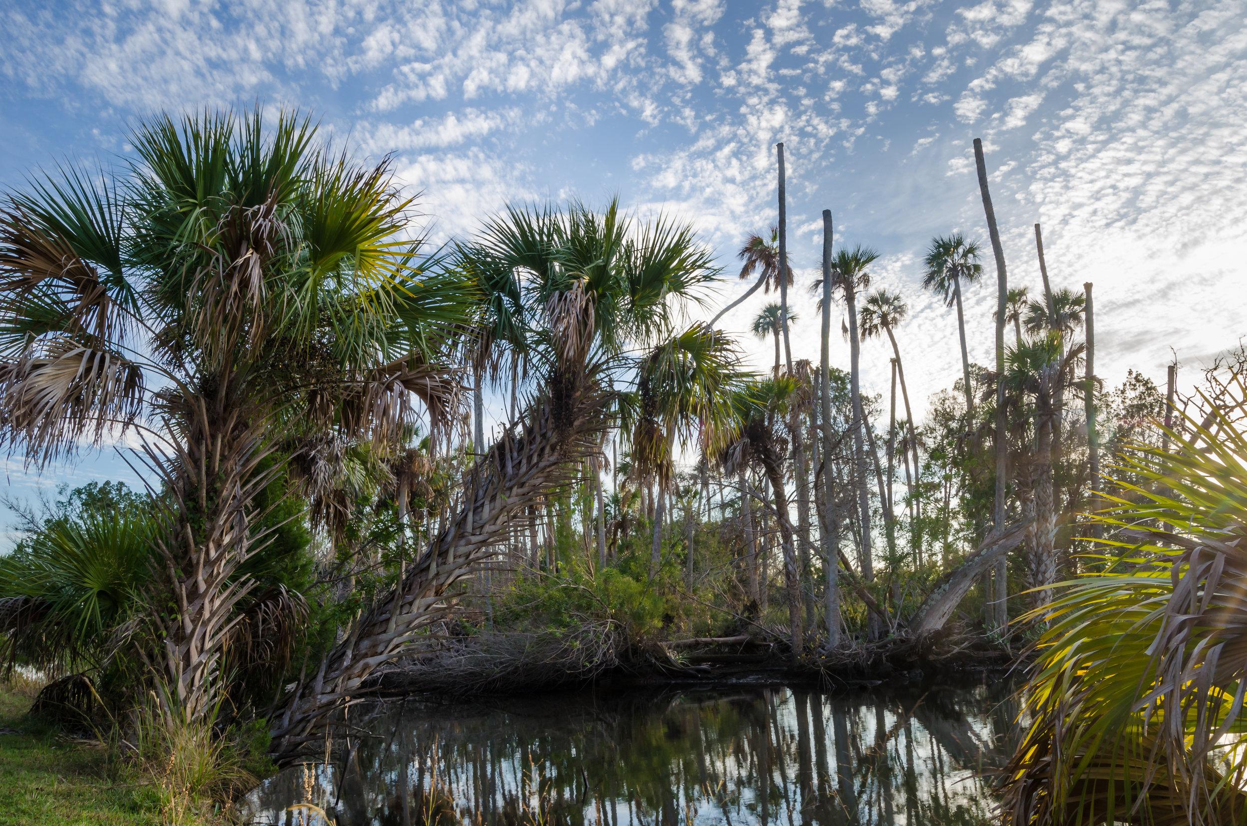 prehistoric-crystal river preserve-palm trees-citrus county-florida.jpg