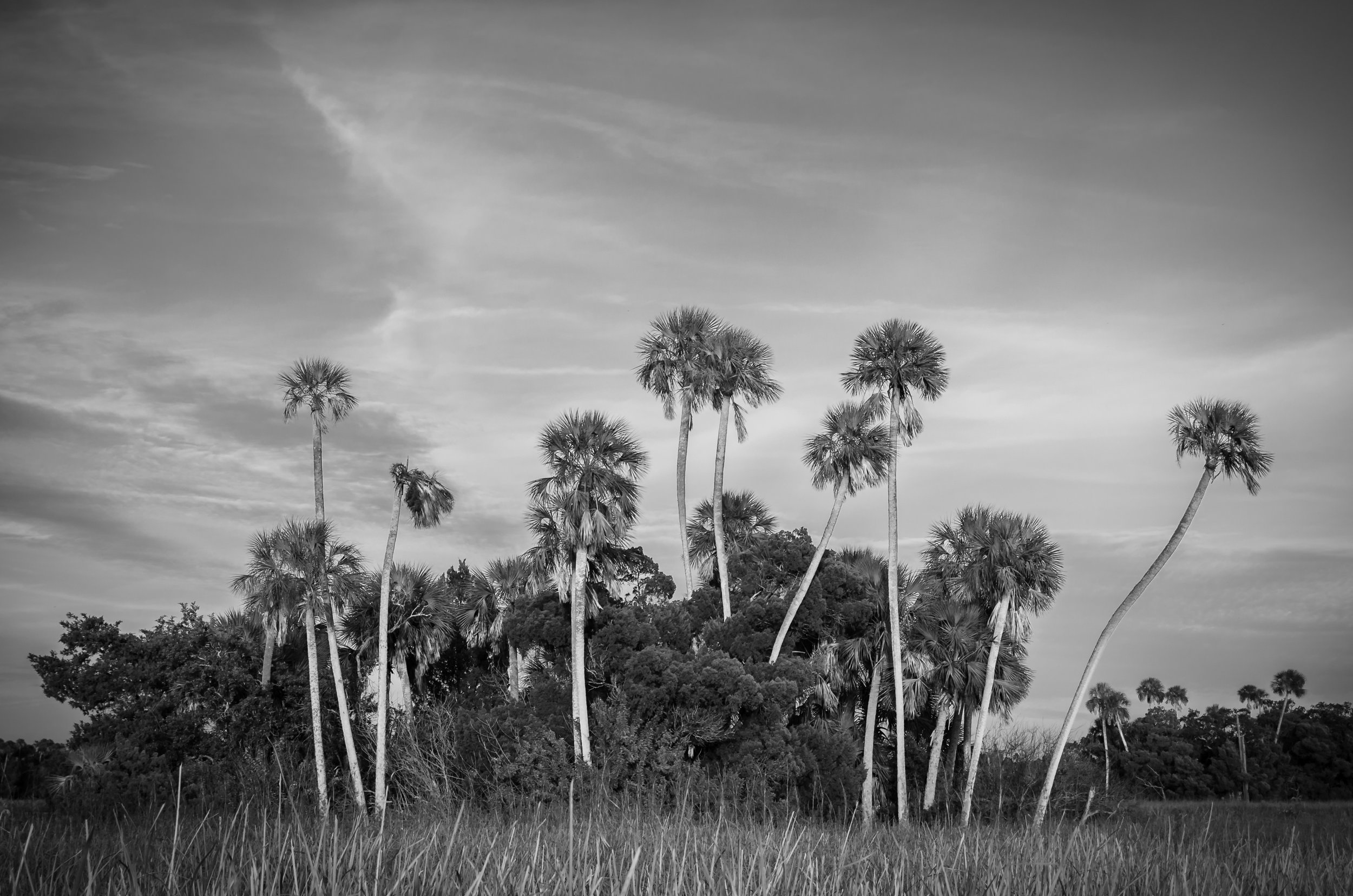 crystal river-citrus county-florida-palms-black and white.jpg