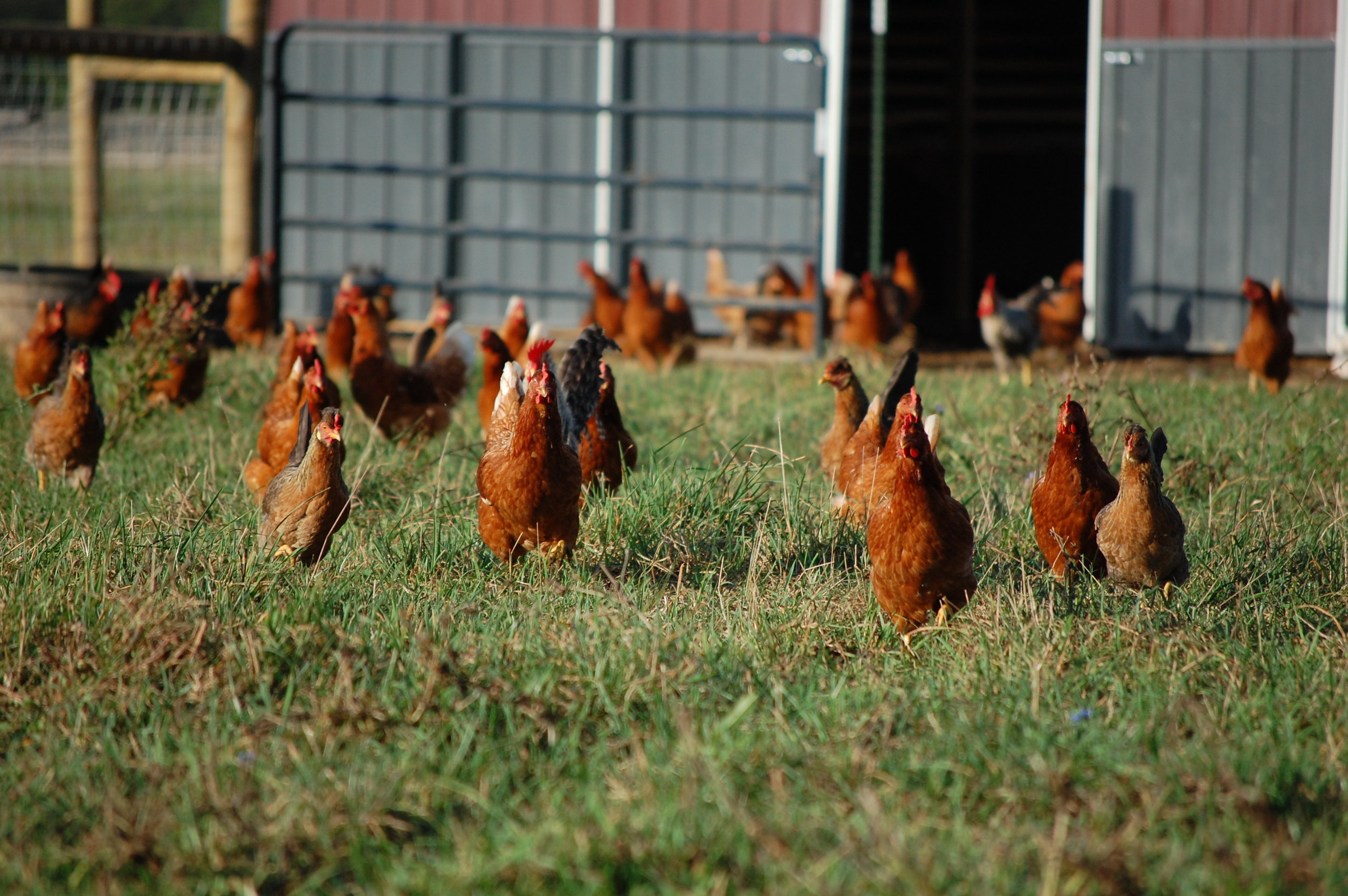 Sara Creech - chickens.JPG