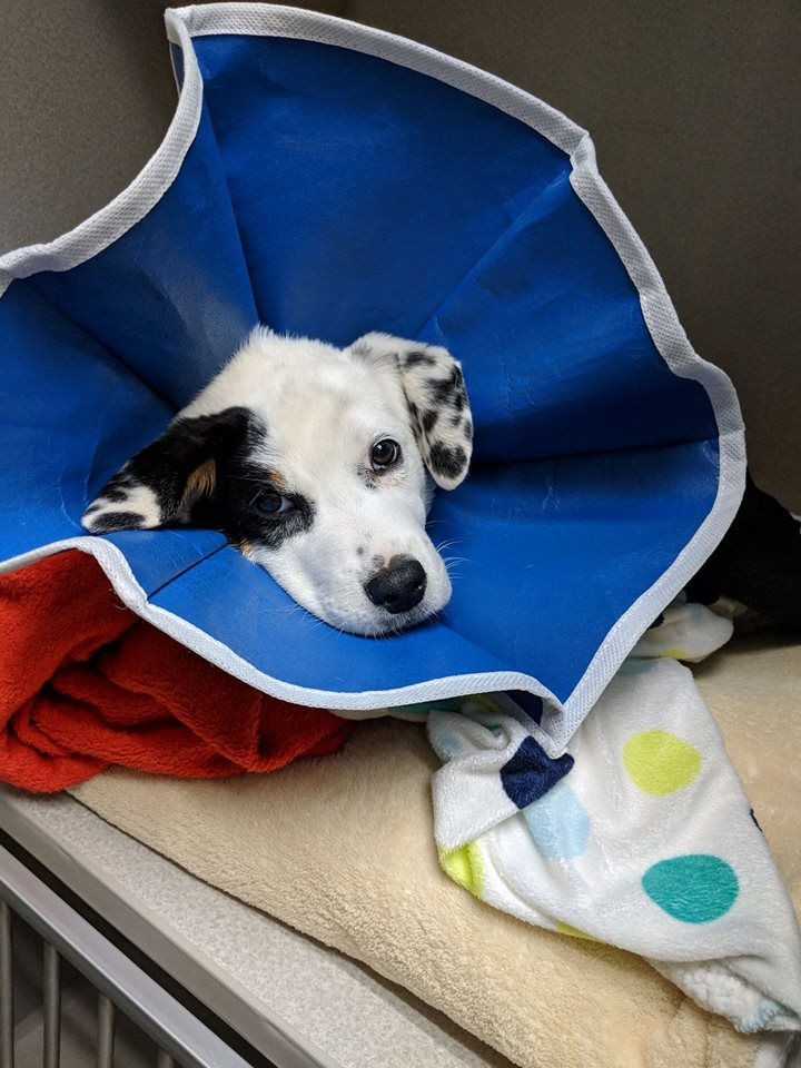We were able to visit Georgie in the ICU for the first time. We still didn't know what was causing the problem or even if we were going to be able to fix it. He looked so pitiful in the soft cone but he was a mischievous puppy when it was off.