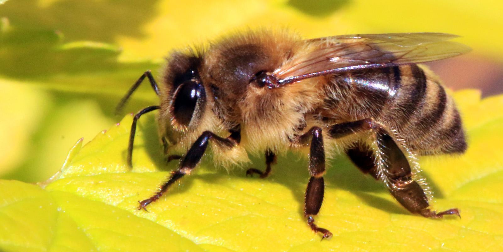 Honey-bee.88f638390b7647f7ba5d5b8e9b11a909.jpg