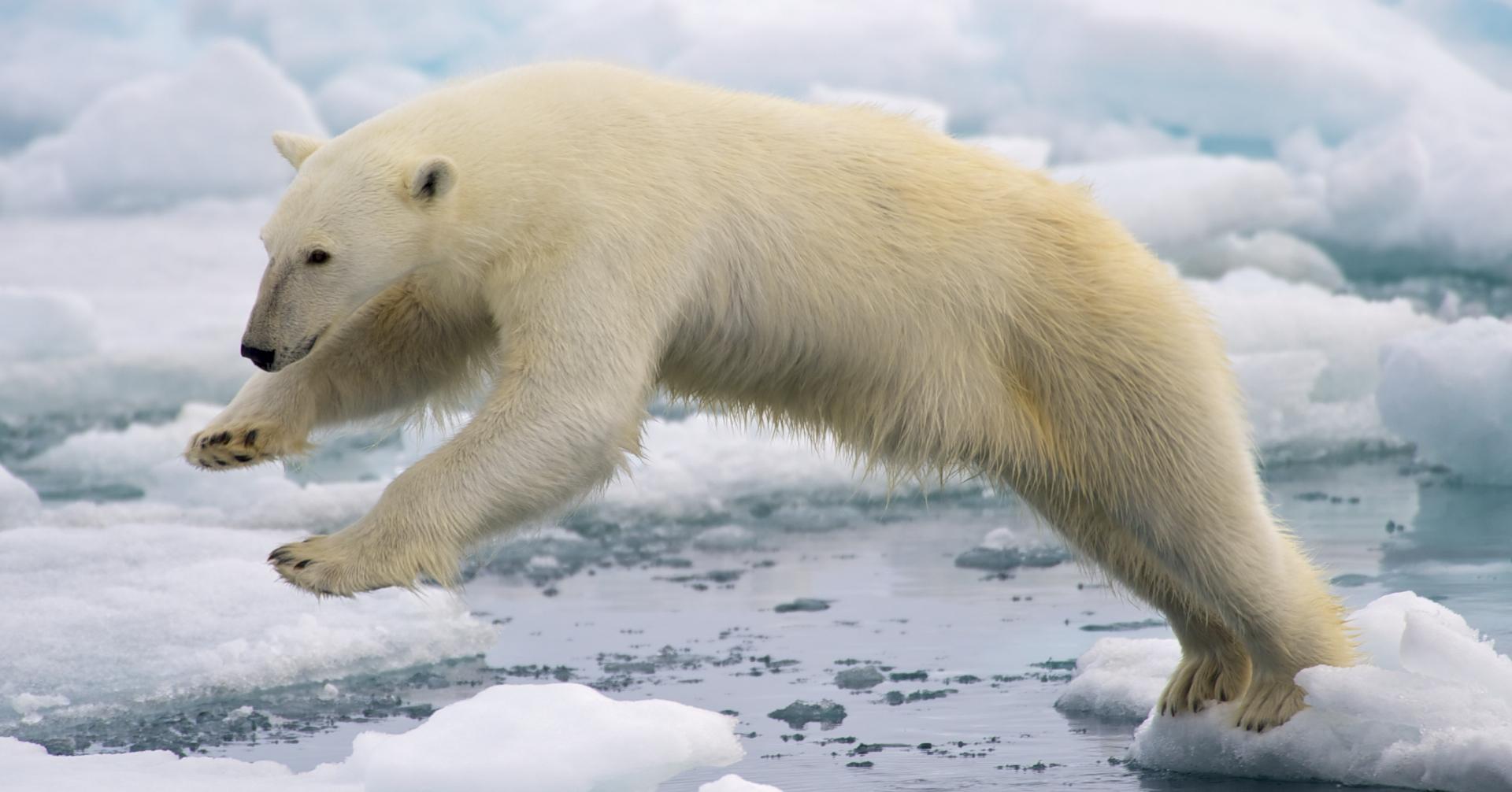 Polar_Bear_AdF.d7a5d33f69d8466c85f2846729978eb6.jpg