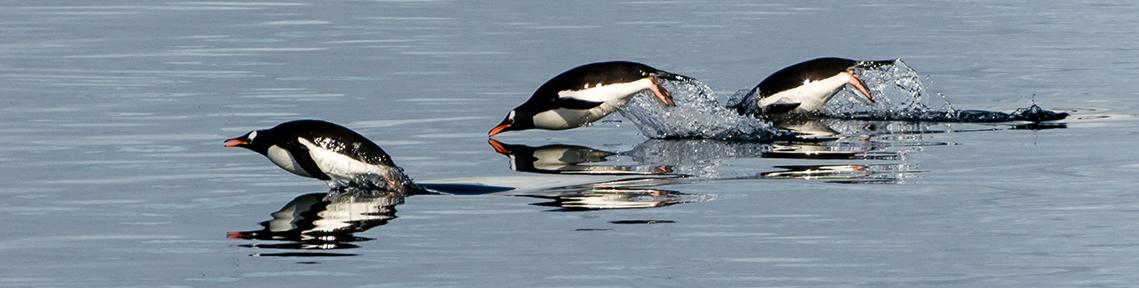 gentoo-penguins-antarctica.97746ecfcb6742e4be11299e48a8eb4f.jpg