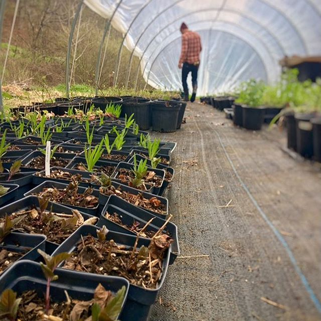 #behindthescenes in the Wild Bud Nursery #greenhouse 🍃 . . Come join another of our wonderful vendors @wildbud_natives at the Growing in the Mountains plant sale! April 26-27th, 9-5pm both days at the WNC Farmers Market in beautiful #asheville #northcarolina ⛰ . . #farmer #farmersmarket #grower #garden #gardening #gardener #homegrown #homestead #homesteading #wnc #appalachia #828isgreat #startfromseed #seedlings #seedling