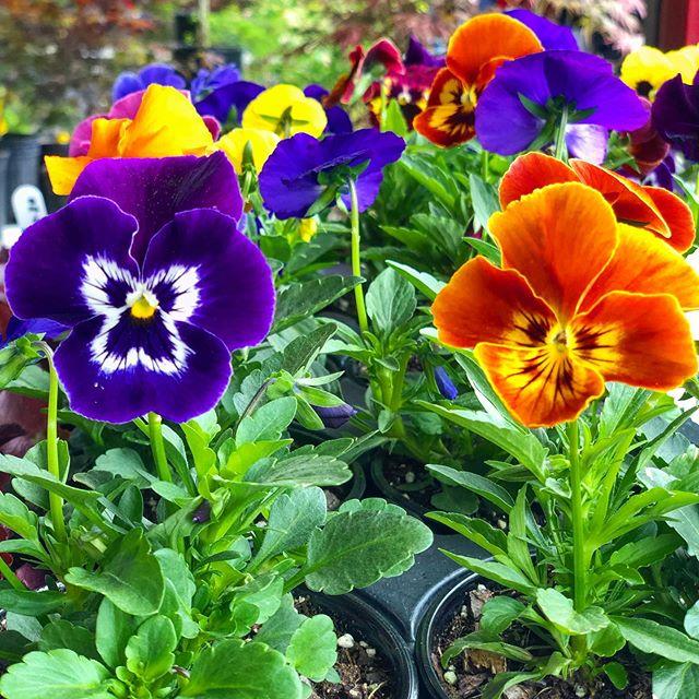 Are your gardens loving all this rain? 💦 . . #growveggies #growyourownveggies #vegetablegardening #raisedbeds #vegetablegarden #flowergarden #flowers #flower #asheville #ashevillenc #garden #gardener #dailydoseofcolor #828isgreat #appalachia