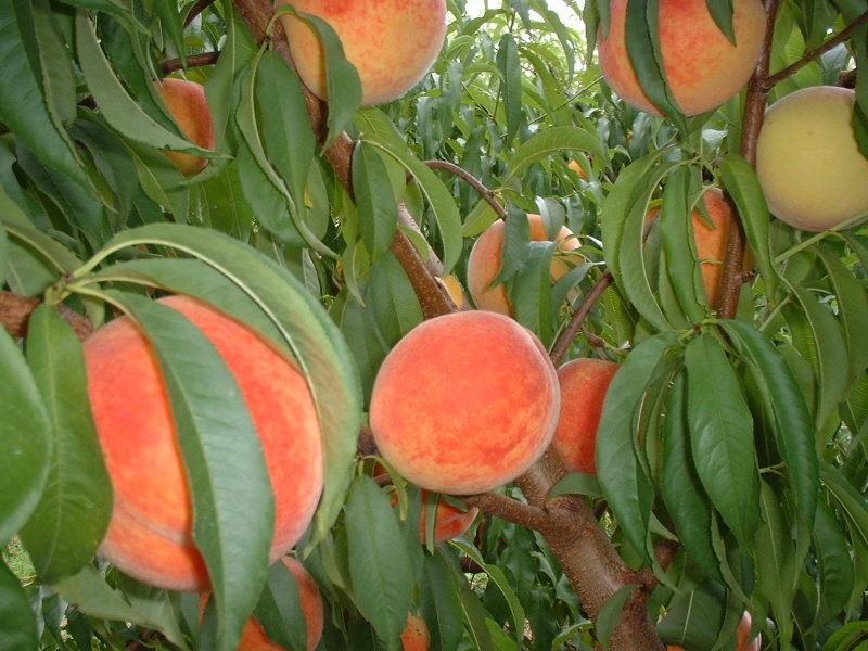 DAILY UPDATES - The Orchard is closed for the 2019 season. We want to thank everyone for a great year! Were looking forward to seeing you at 2020 Peach Season!Hours when fruit is available. 8 am to 5 pm 2000 Collier Rd Lewisburg Tn 37091As always call for availability931 359 0153Blessings,Bill & Vicki Forgie