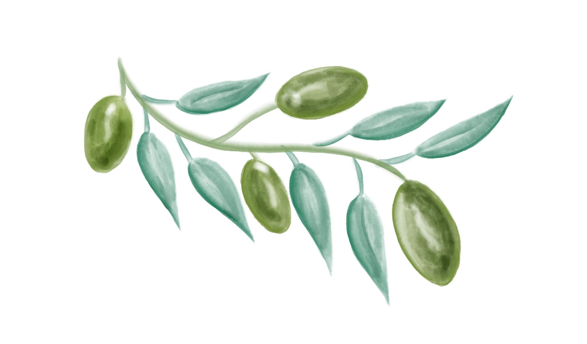 Olives watercolour illustration