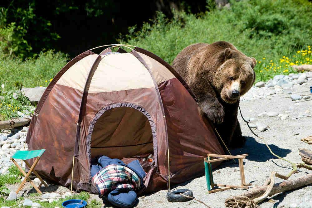 Brown-bears-in-camp-site.jpg