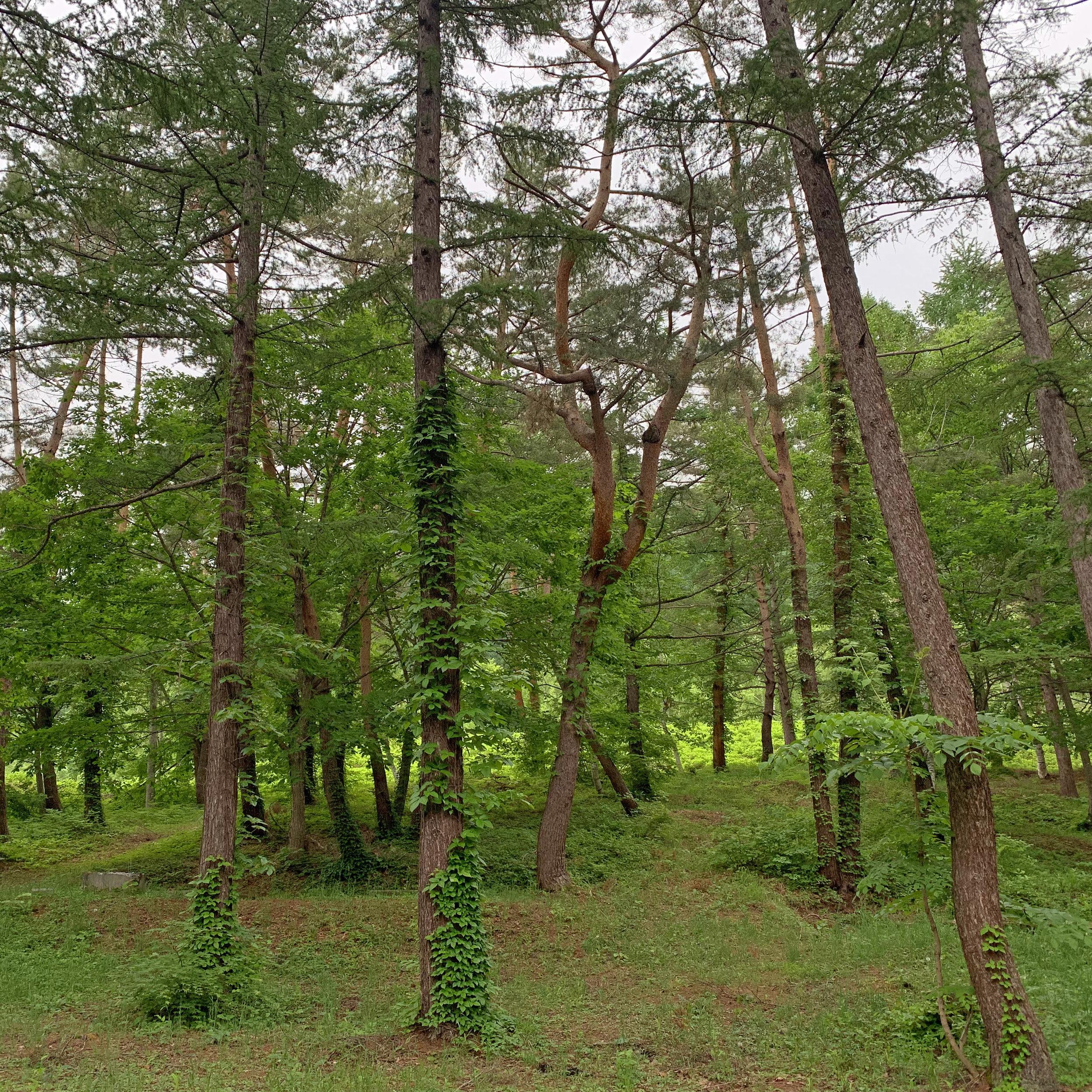 hodaigi trees.jpg
