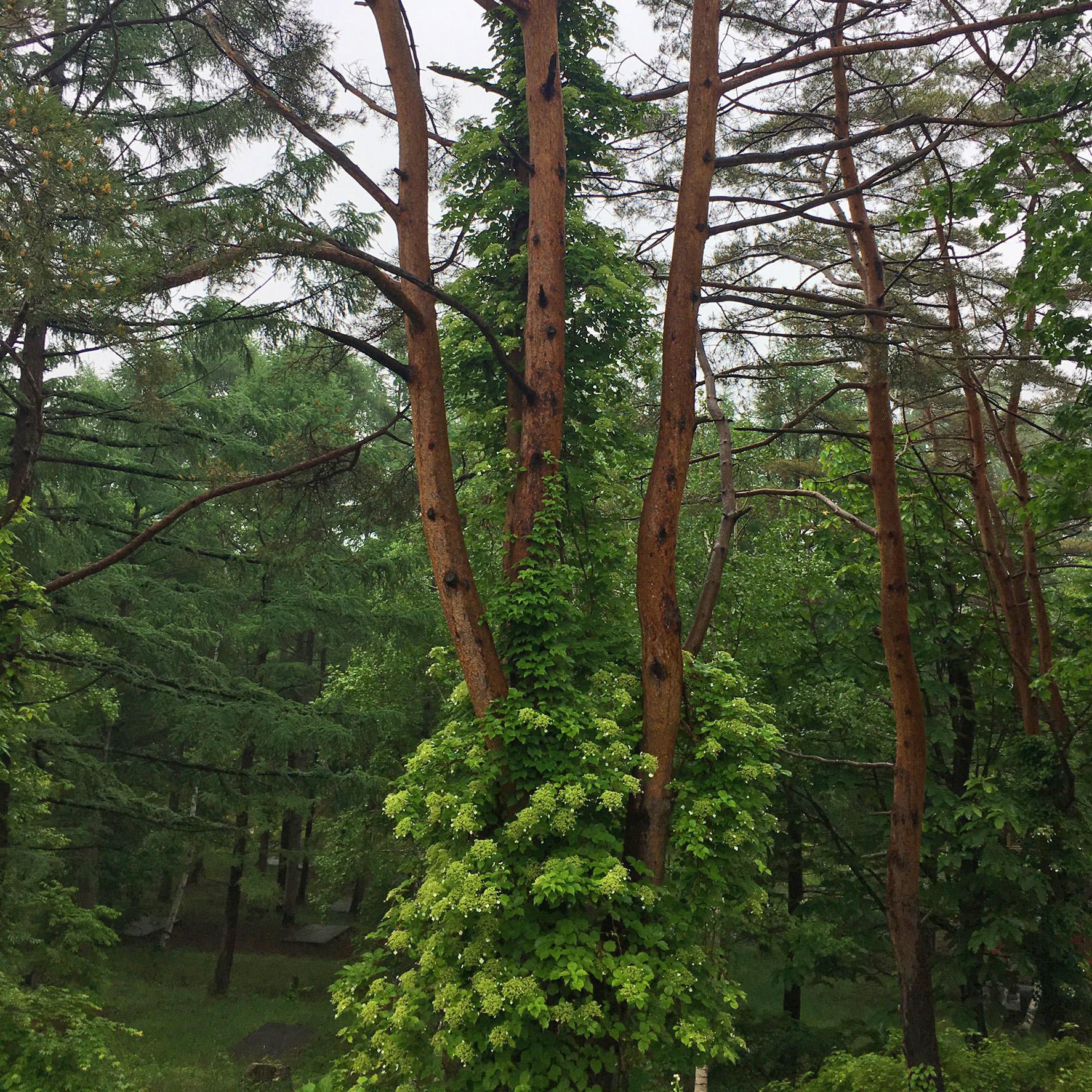 hodaigi tree.jpg