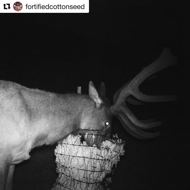 These guys are really digging in 😲! . . #elk #fortifiedcottonseed #cottonseed #feedermaxfeed #elkhunting