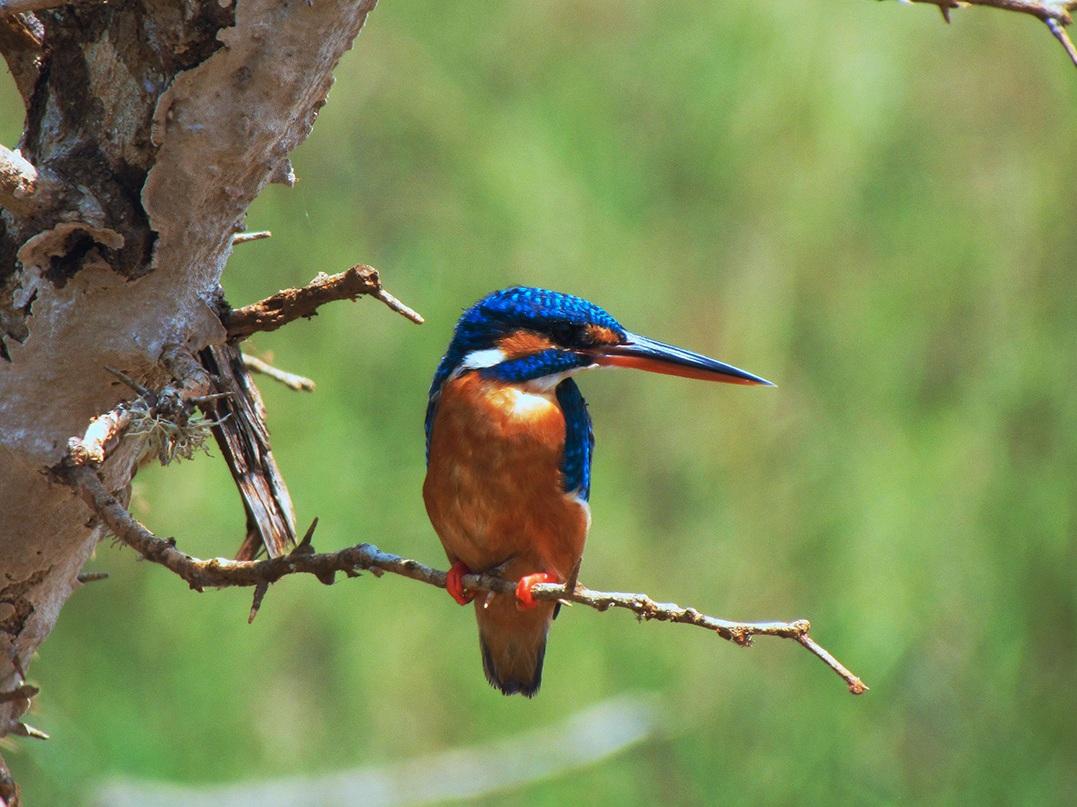Beautiful Kingfisher photography on Sri Lanka's bird watching safari itineraries