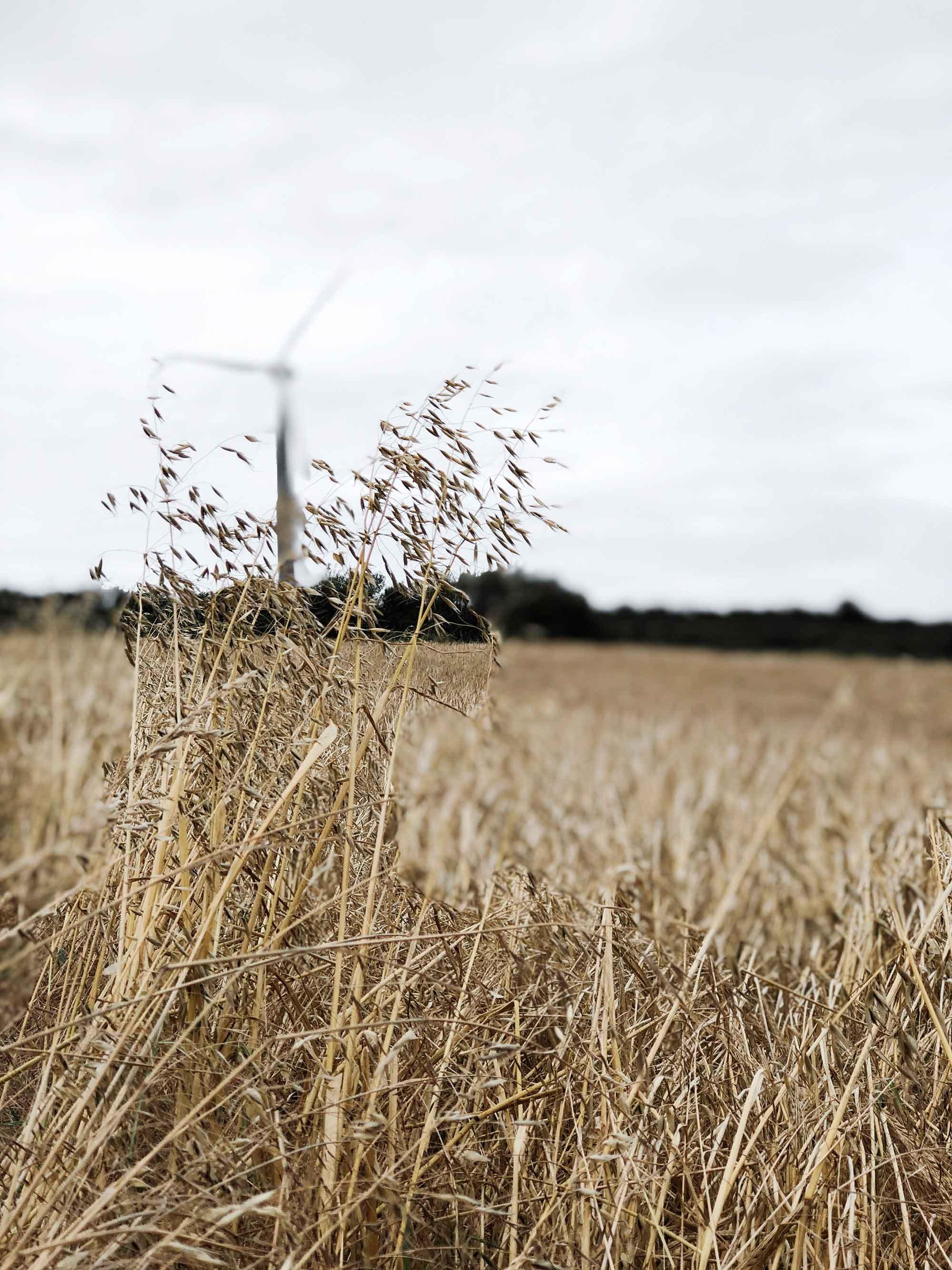 4 SBS Cornish-coastal-breeze-in-corn-field.jpg