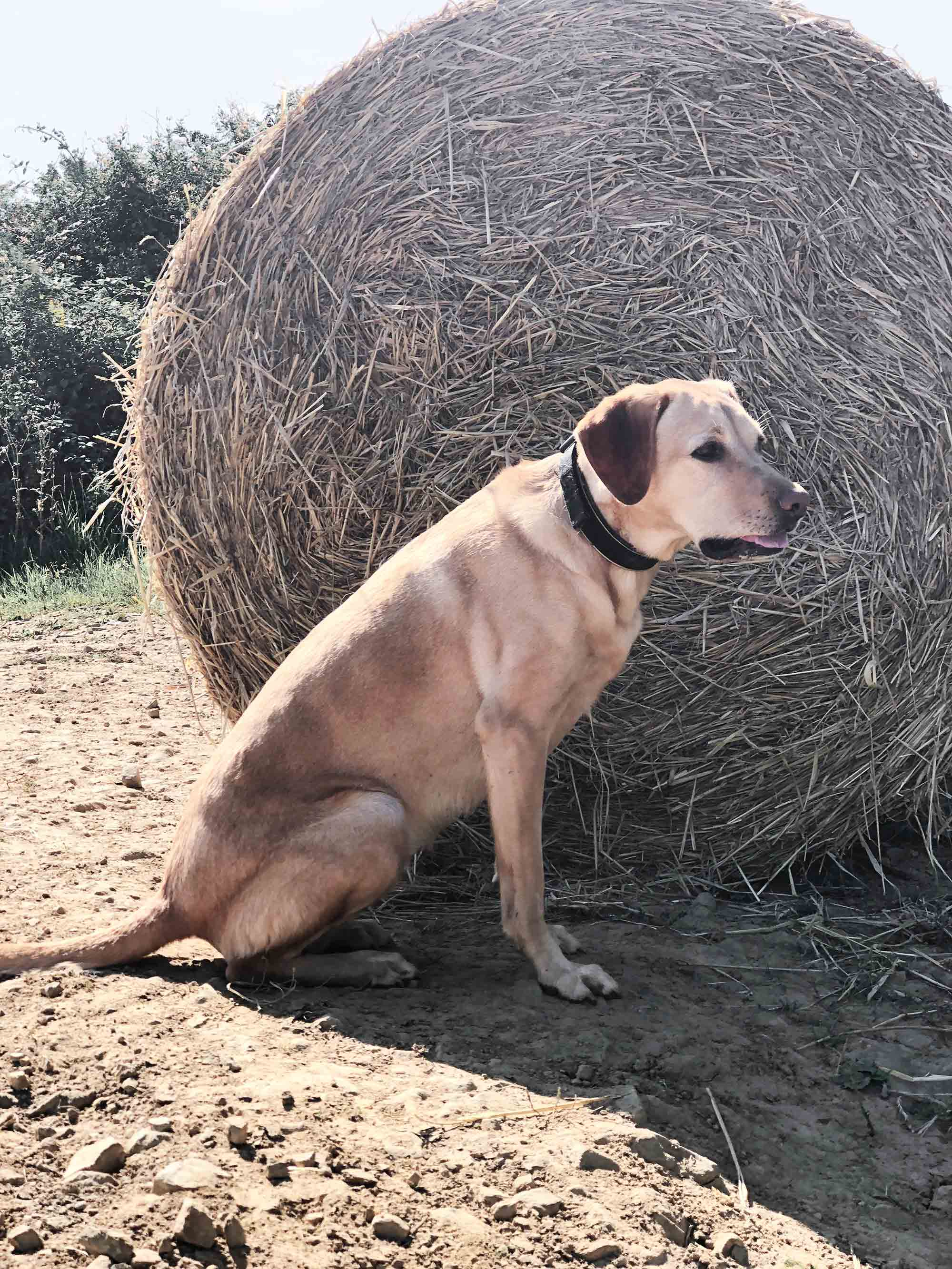 7 SBS labrador-in-front-of-hay-bale.jpg