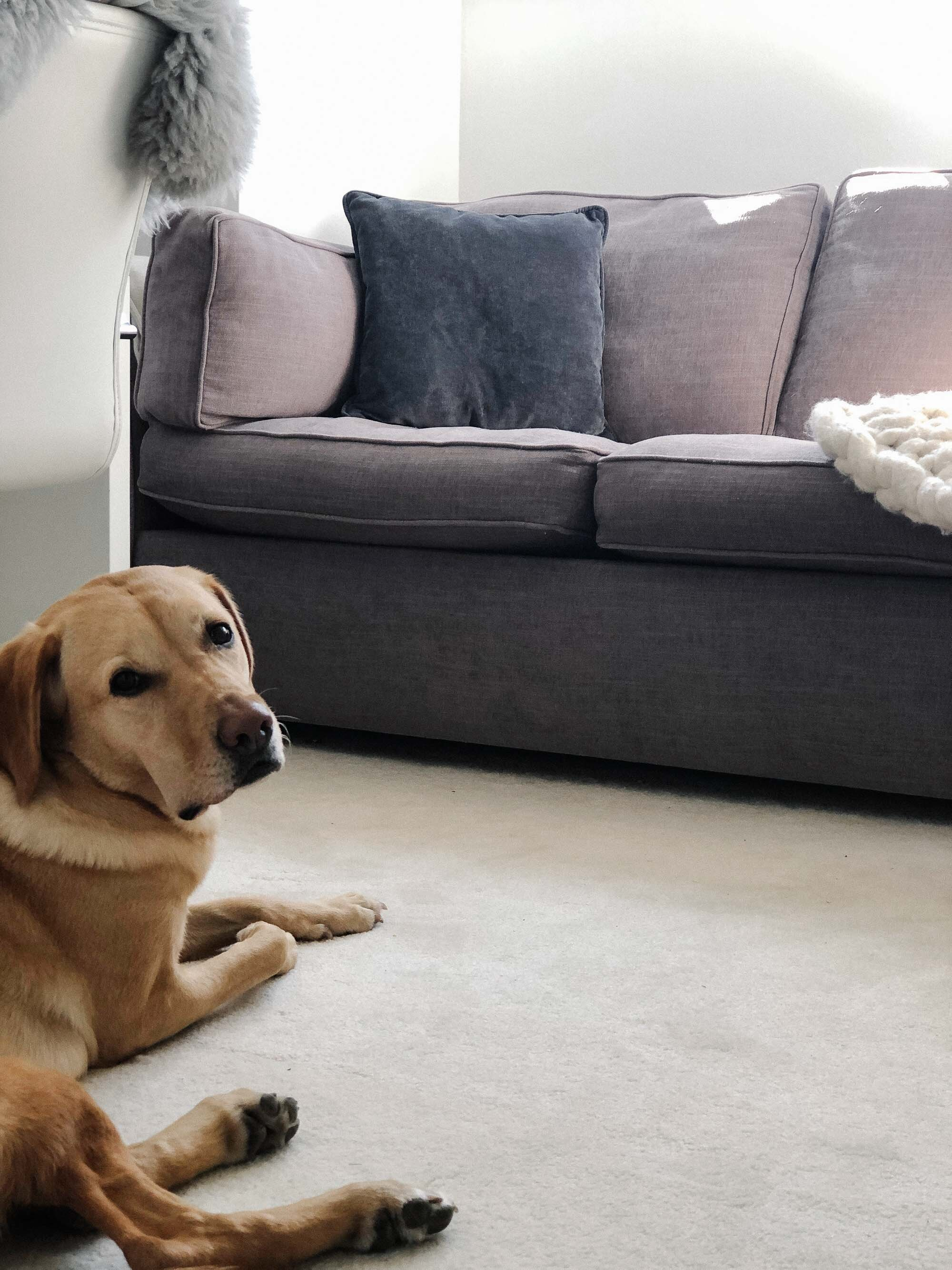 7 Labrador lying in front of the sofa.jpg