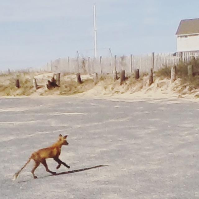Fox at the beach